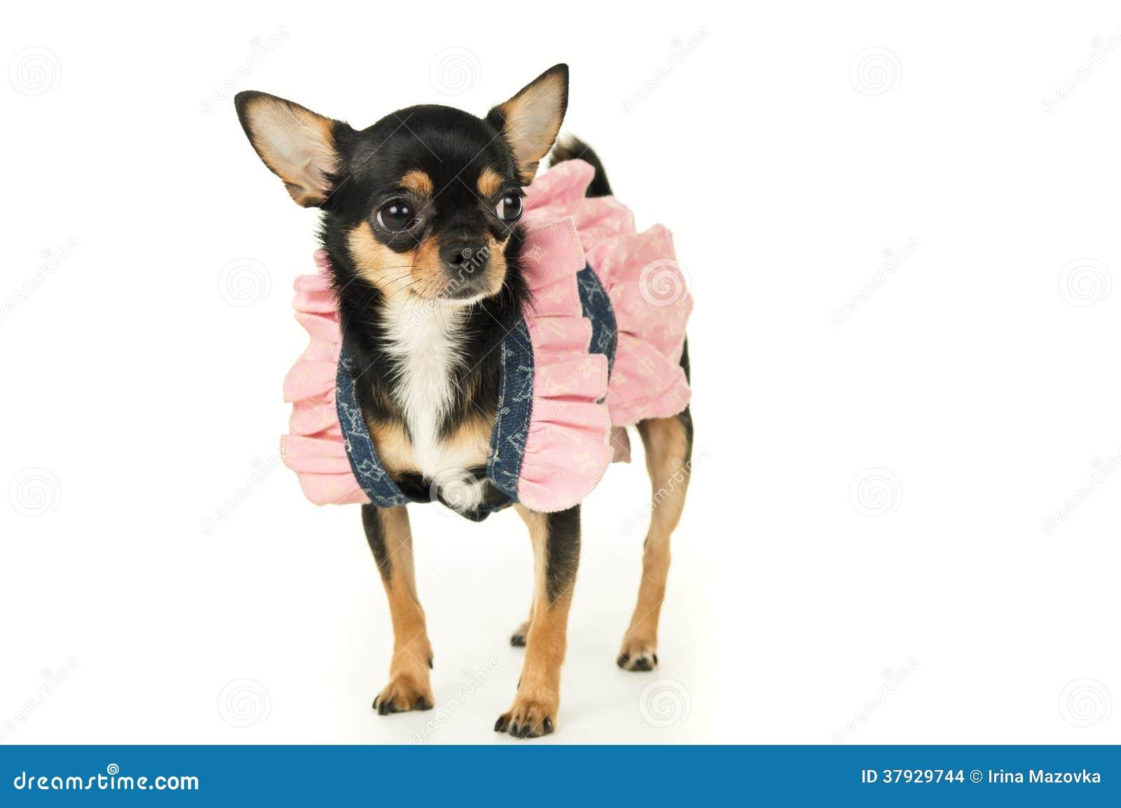 Собака чихуахуа стоя в платье