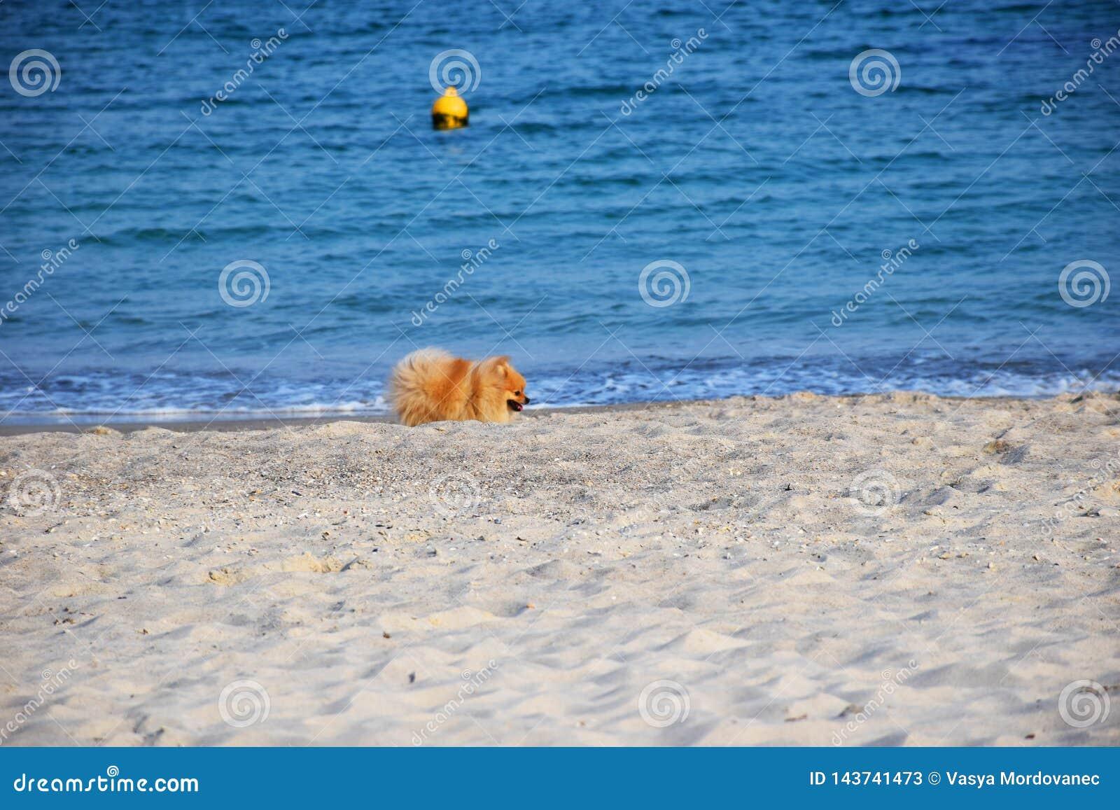 Собака шпица Pomeranian маленькая