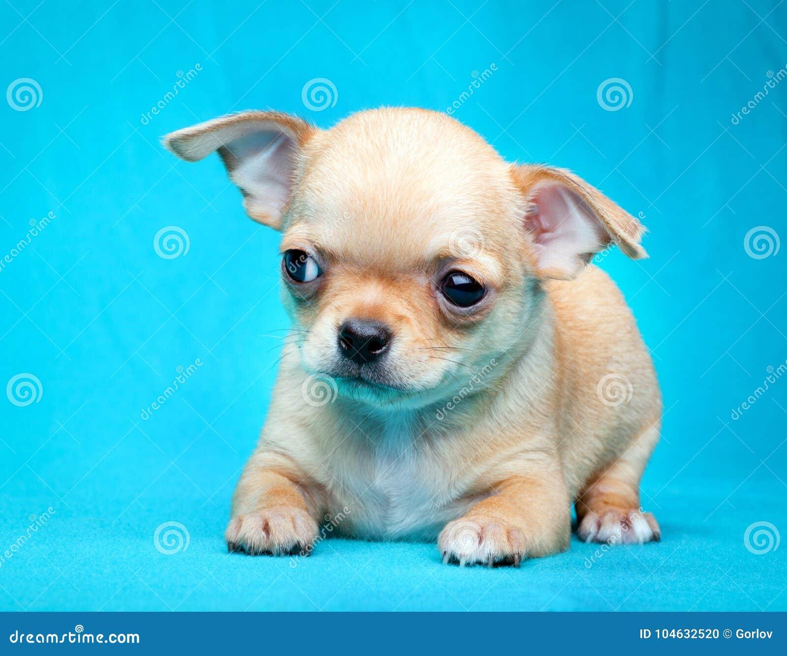 Собака щенка младенца чихуахуа в качестве студии