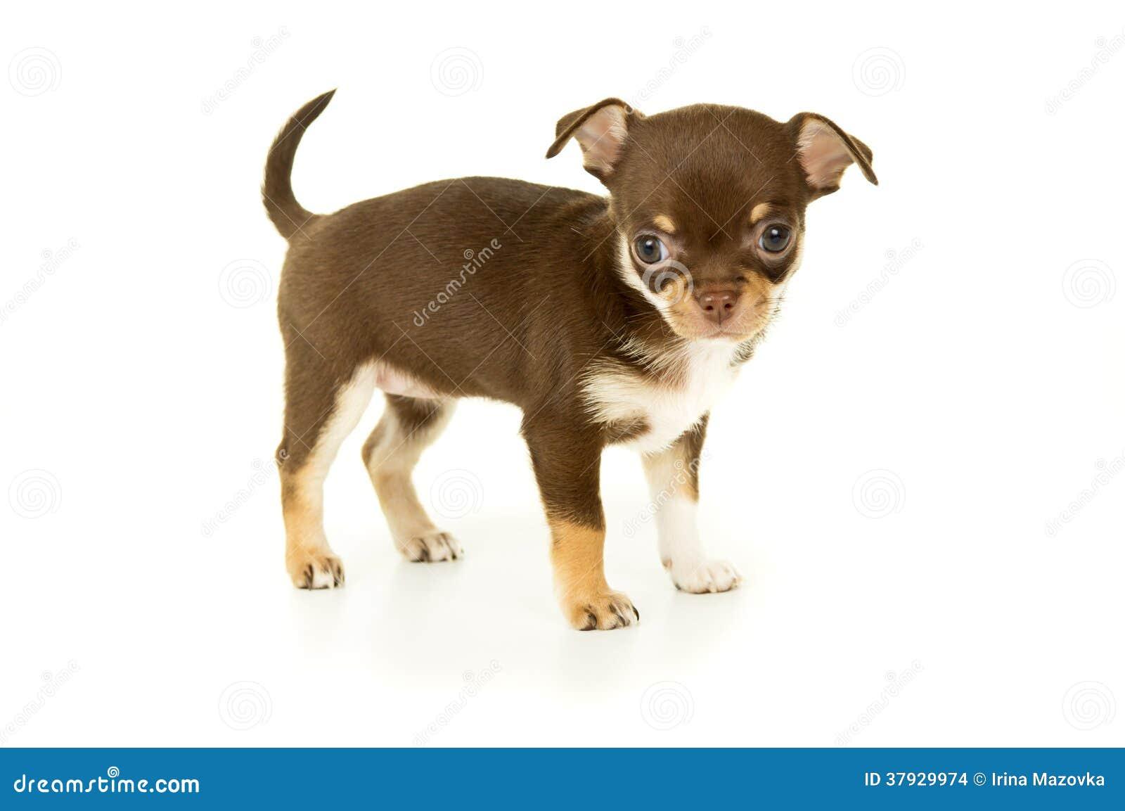 Собака щенка чихуахуа