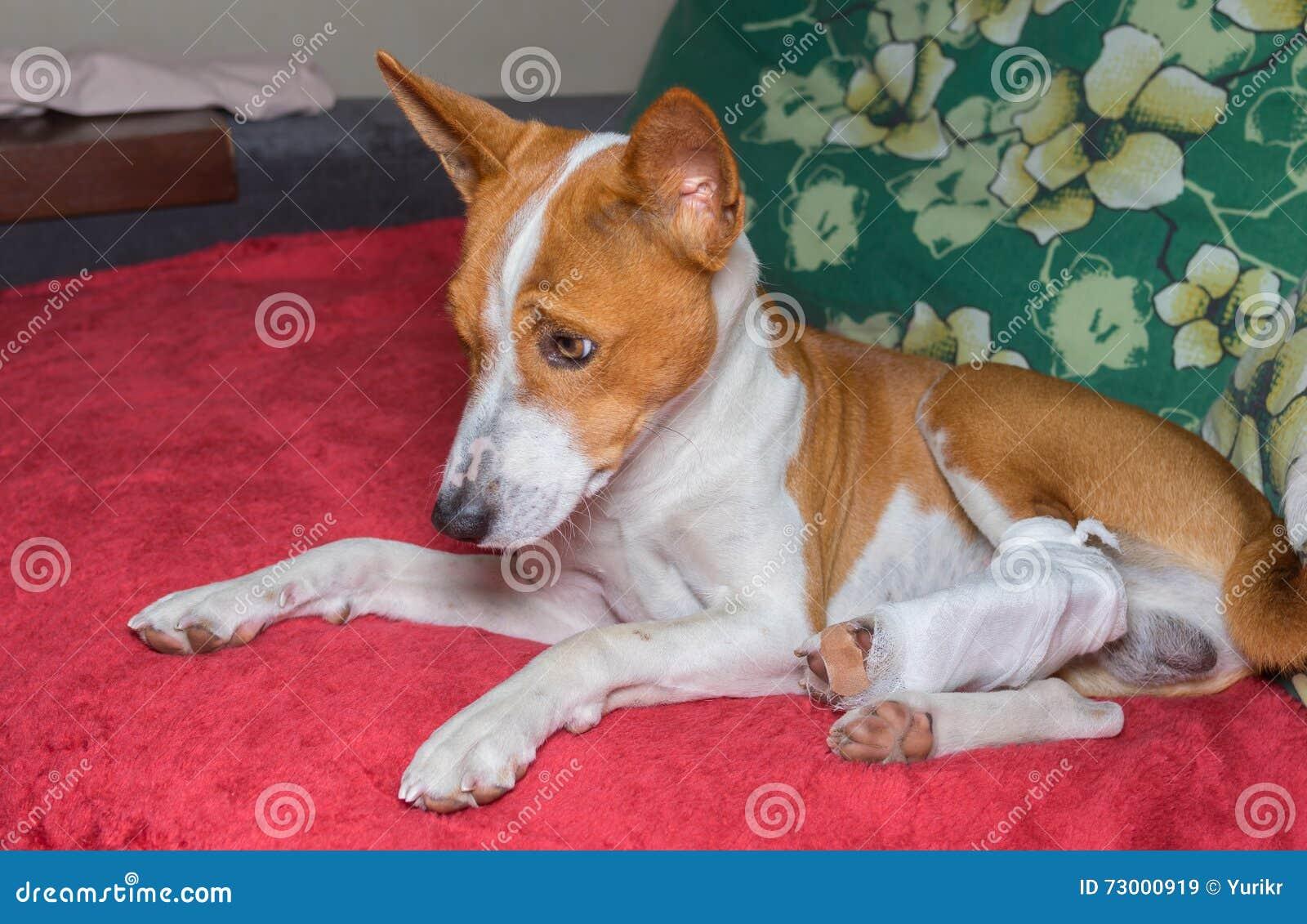 Собака Basenji при сломленные перевязанные задние ноги отдыхая на софе