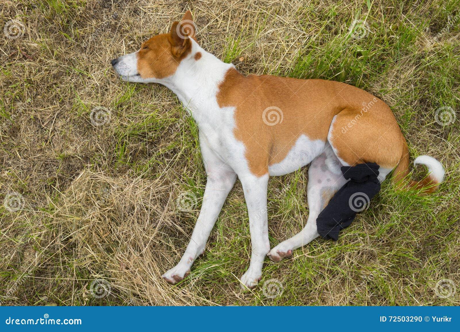 Собака Basenji с сломленными перевязанными задними ногами