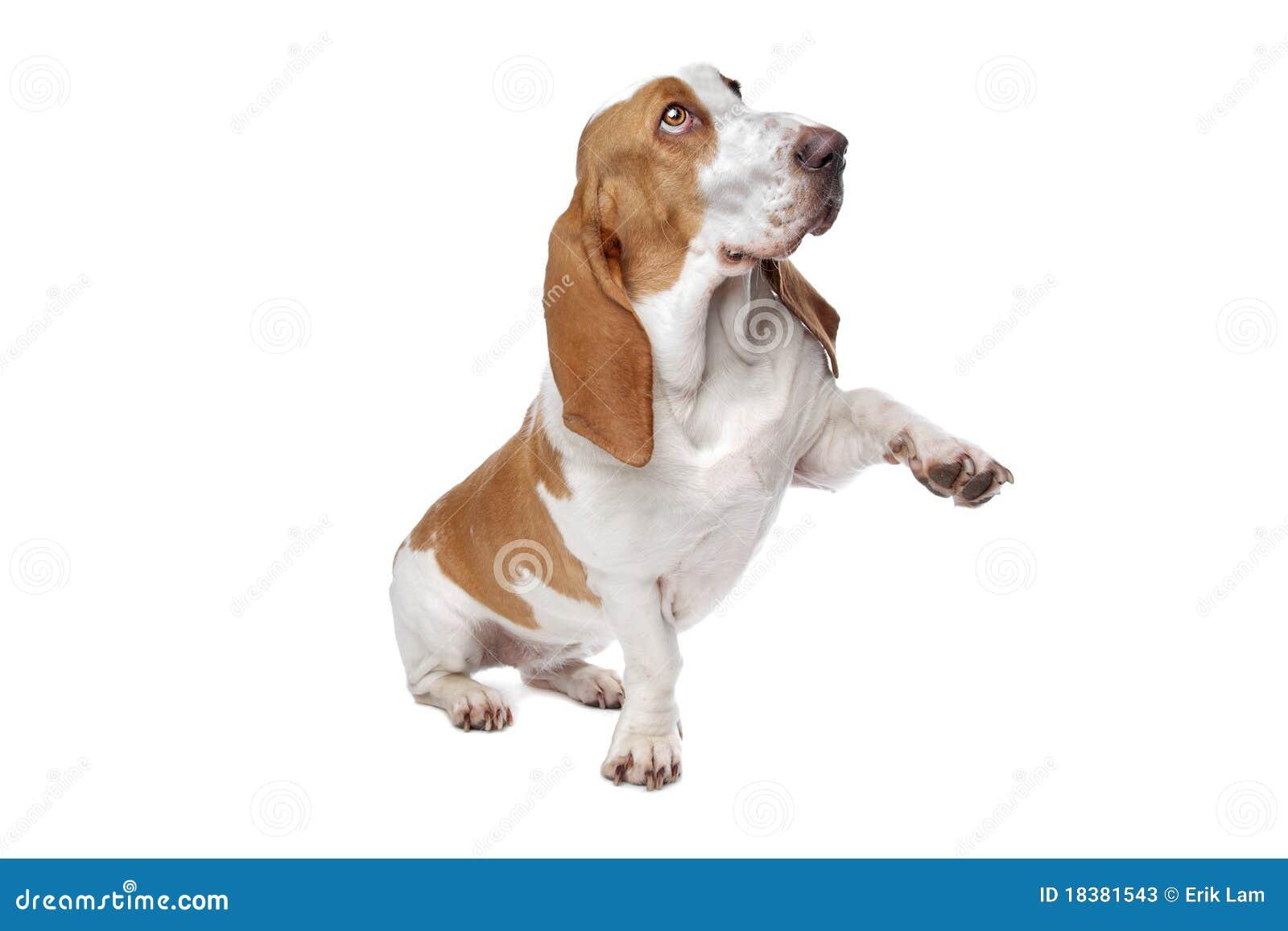 собака basset держа вне лапку