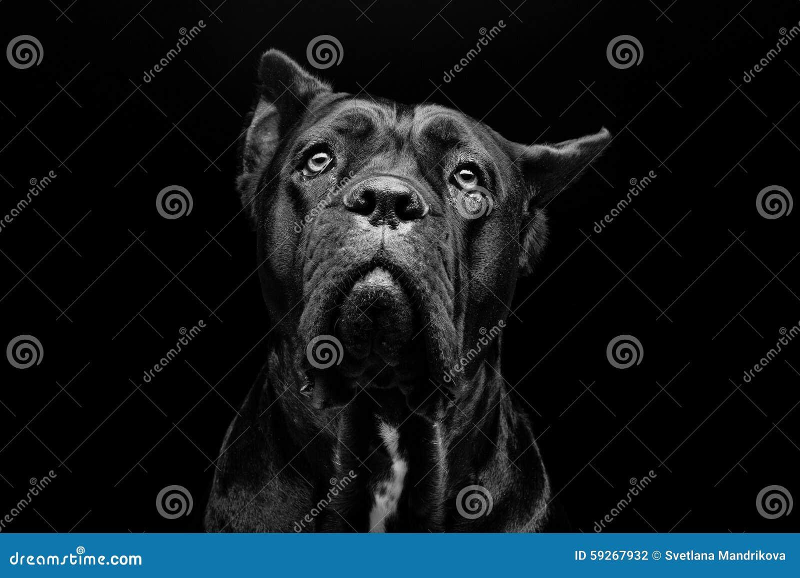 Собака corso тросточки