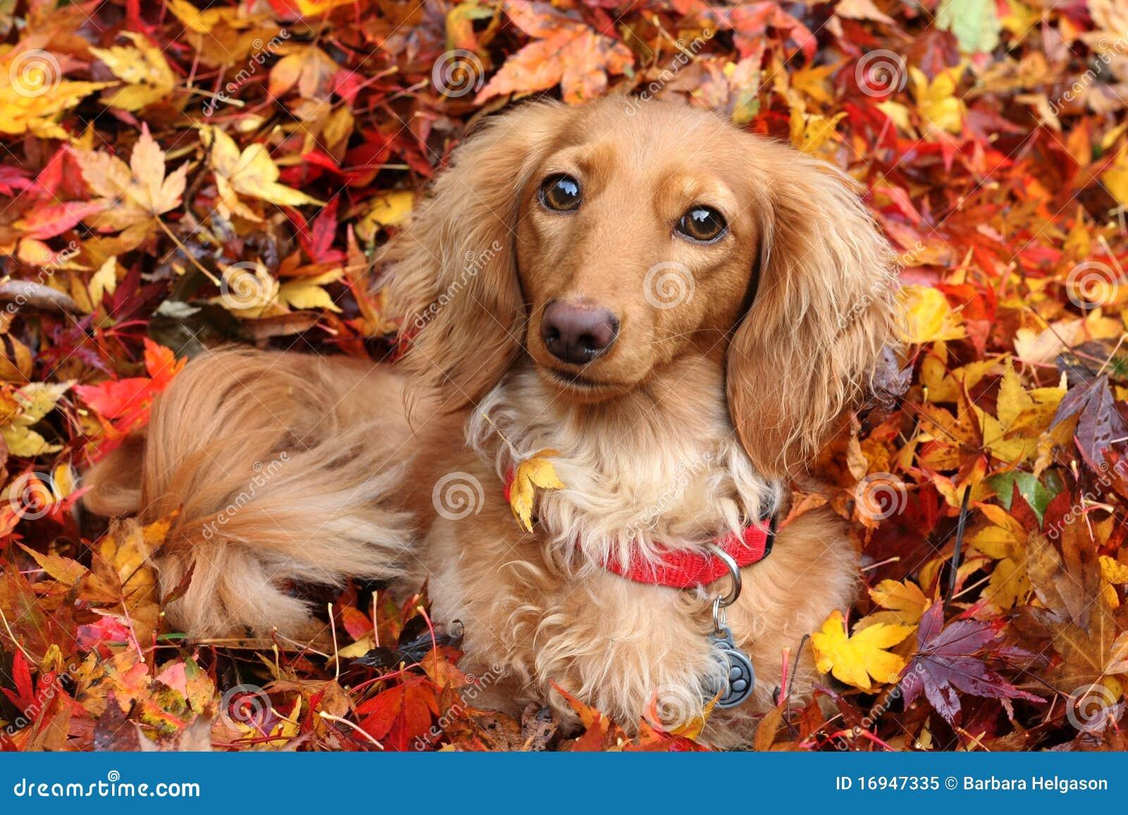 собака dachshund осени