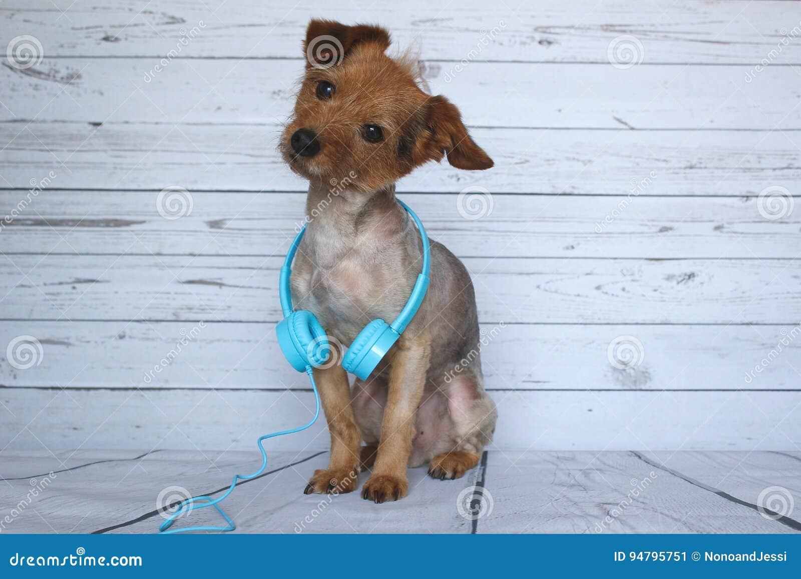 Собака DJ очень внимательная и слушая к звукам он слышит в наушниках тональнозвуковых вокруг его дуновения