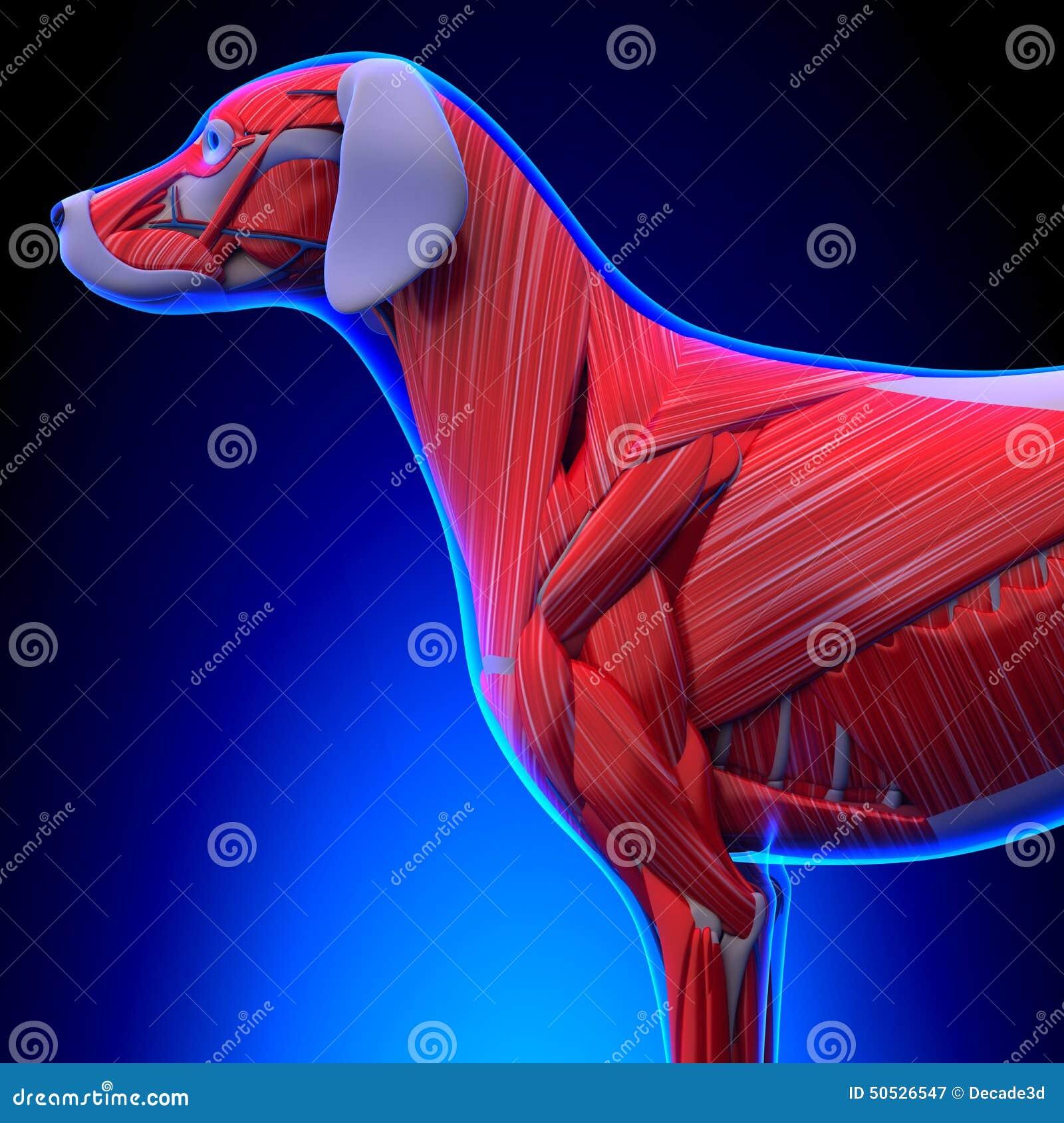 Собака Muscles анатомия - анатомия мышц собаки мужчины