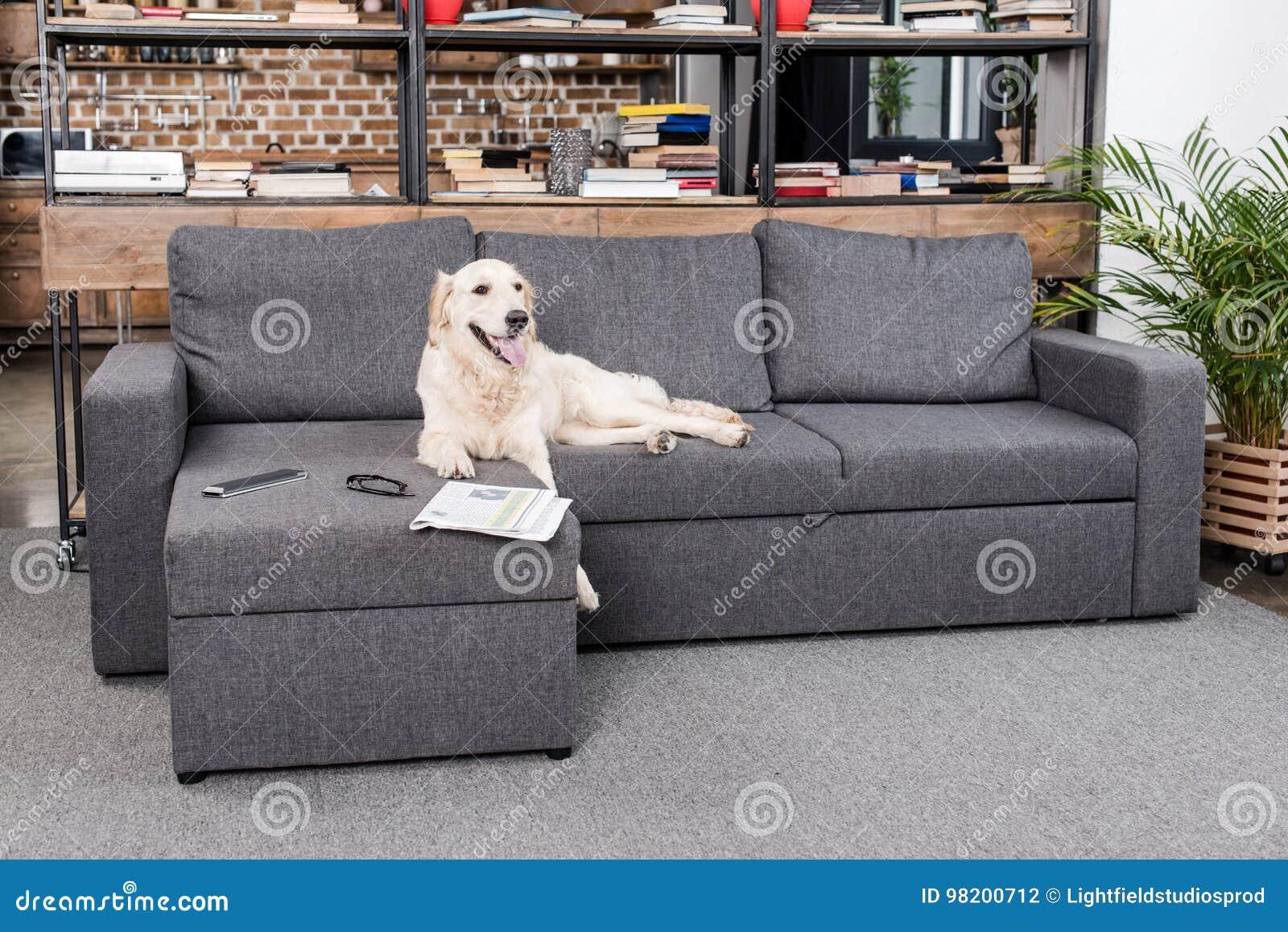 Download Собака Retriever лежа на софе с дистанционным управлением, газетой и Eyeglasses ТВ Стоковое Фото - изображение насчитывающей ослаблять, mammal: 98200712