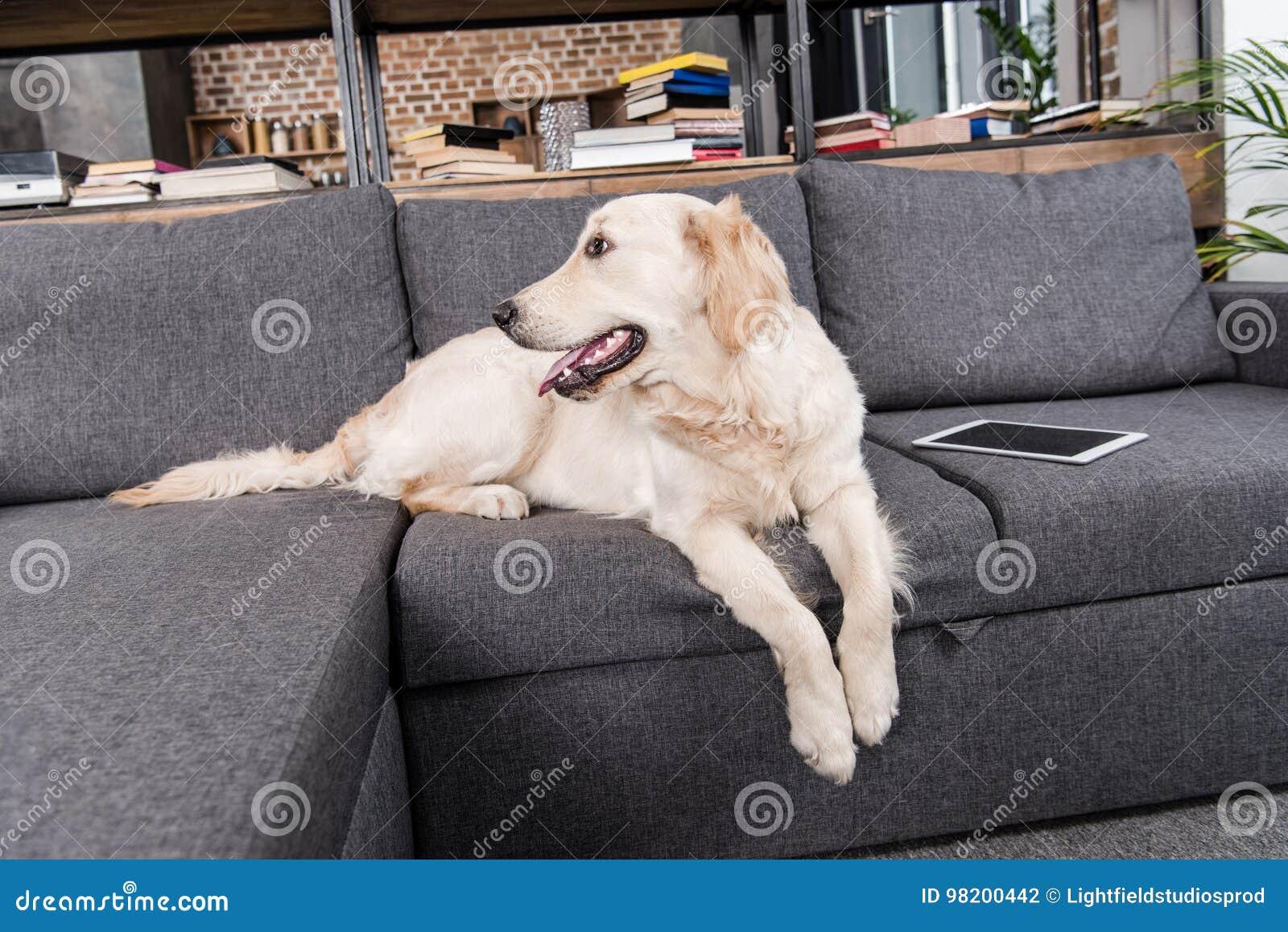 Download Собака Retriever лежа на софе с цифровой таблеткой Стоковое Фото - изображение насчитывающей любимчик, компьютер: 98200442