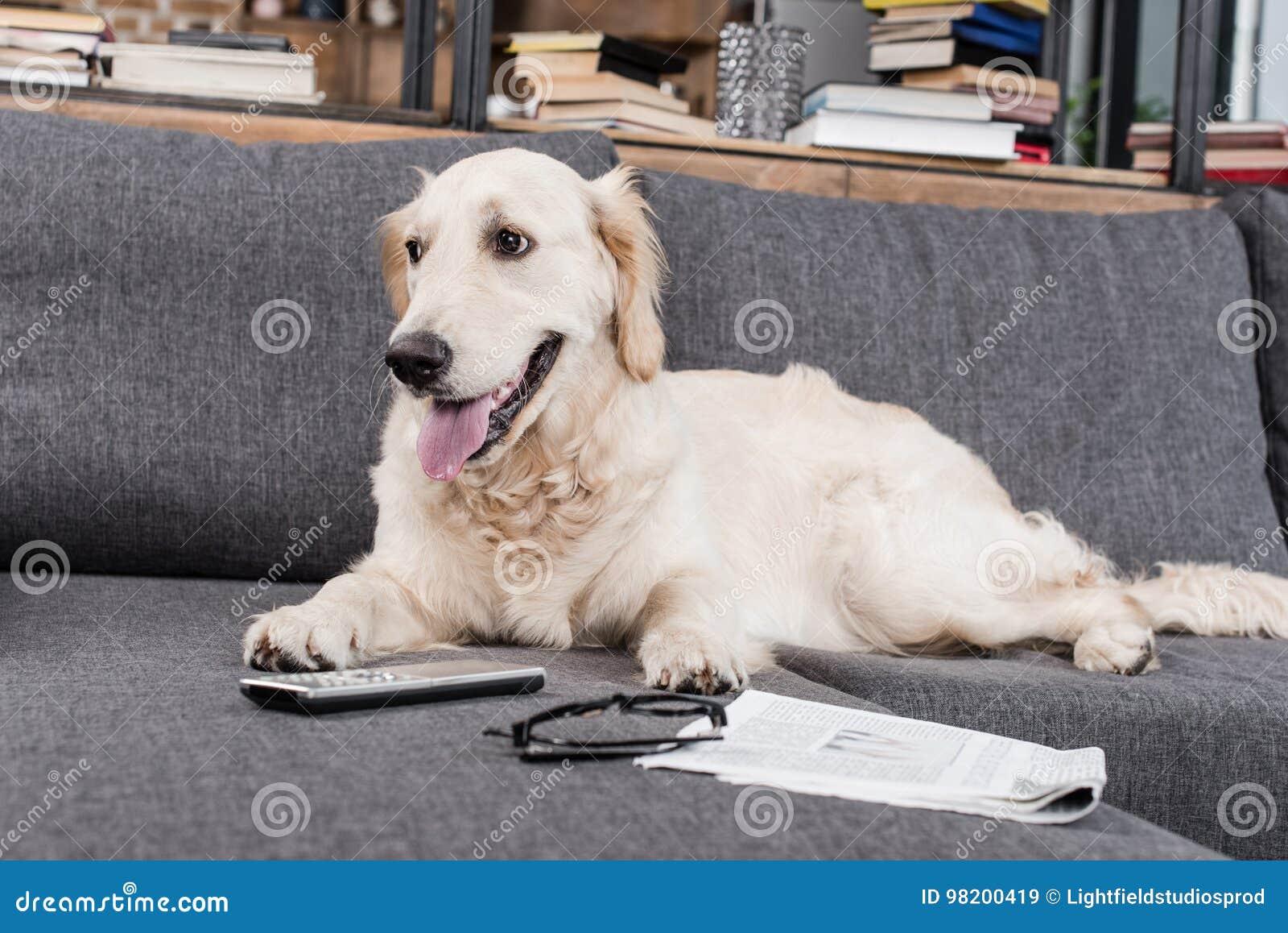 Download Собака Retriever ослабляя на софе с дистанционным управлением, газетой и Eyeglasses ТВ Стоковое Изображение - изображение насчитывающей лежать, разведенными: 98200419