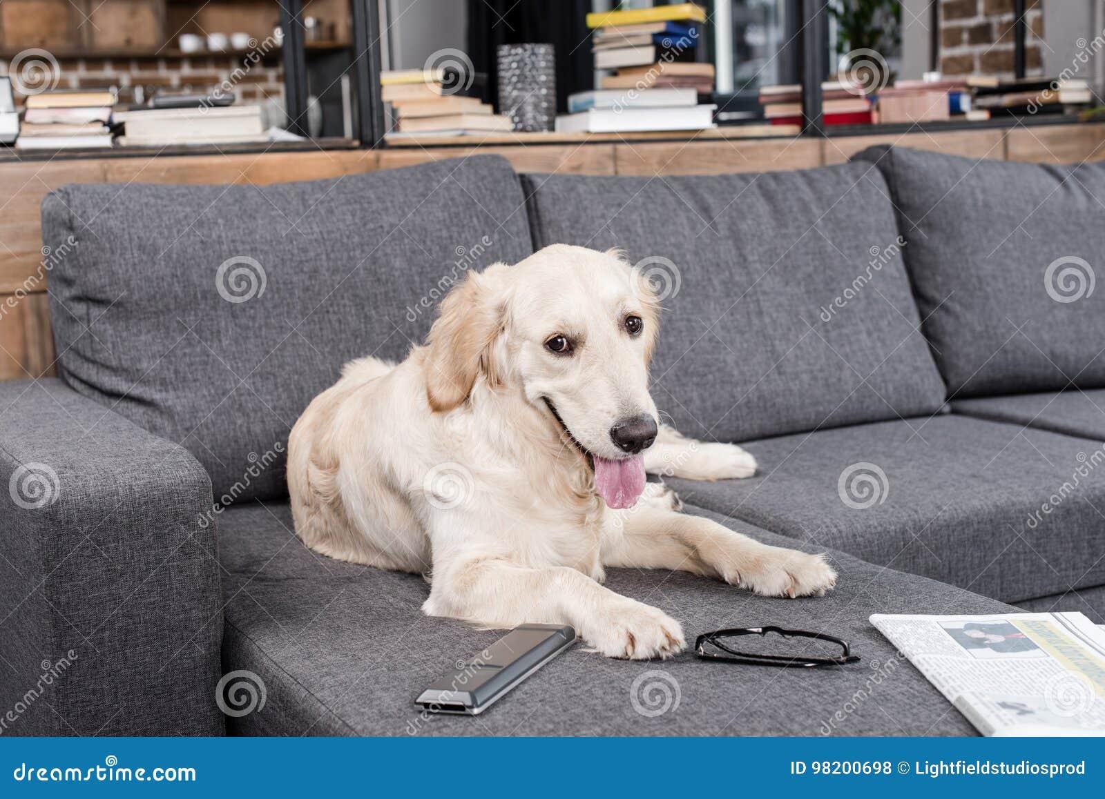 Download Собака Retriever ослабляя на софе с дистанционным управлением, газетой и Eyeglasses ТВ Стоковое Фото - изображение насчитывающей пушисто, отдыхать: 98200698