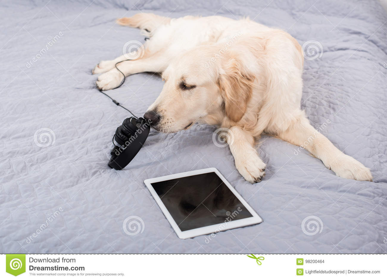 Download Собака Retriever при наушники и цифровая таблетка лежа на кровати Стоковое Фото - изображение насчитывающей ангстрома, содружественно: 98200464