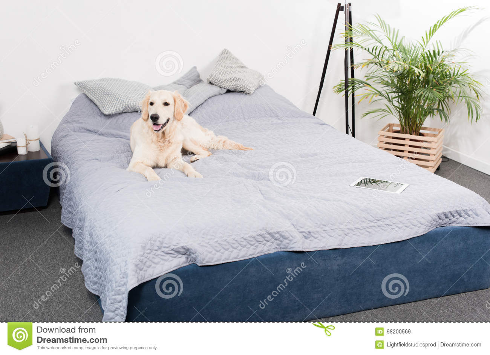 Download Собака Retriever при цифровая таблетка лежа на кровати Стоковое Изображение - изображение насчитывающей устройство, отдыхать: 98200569