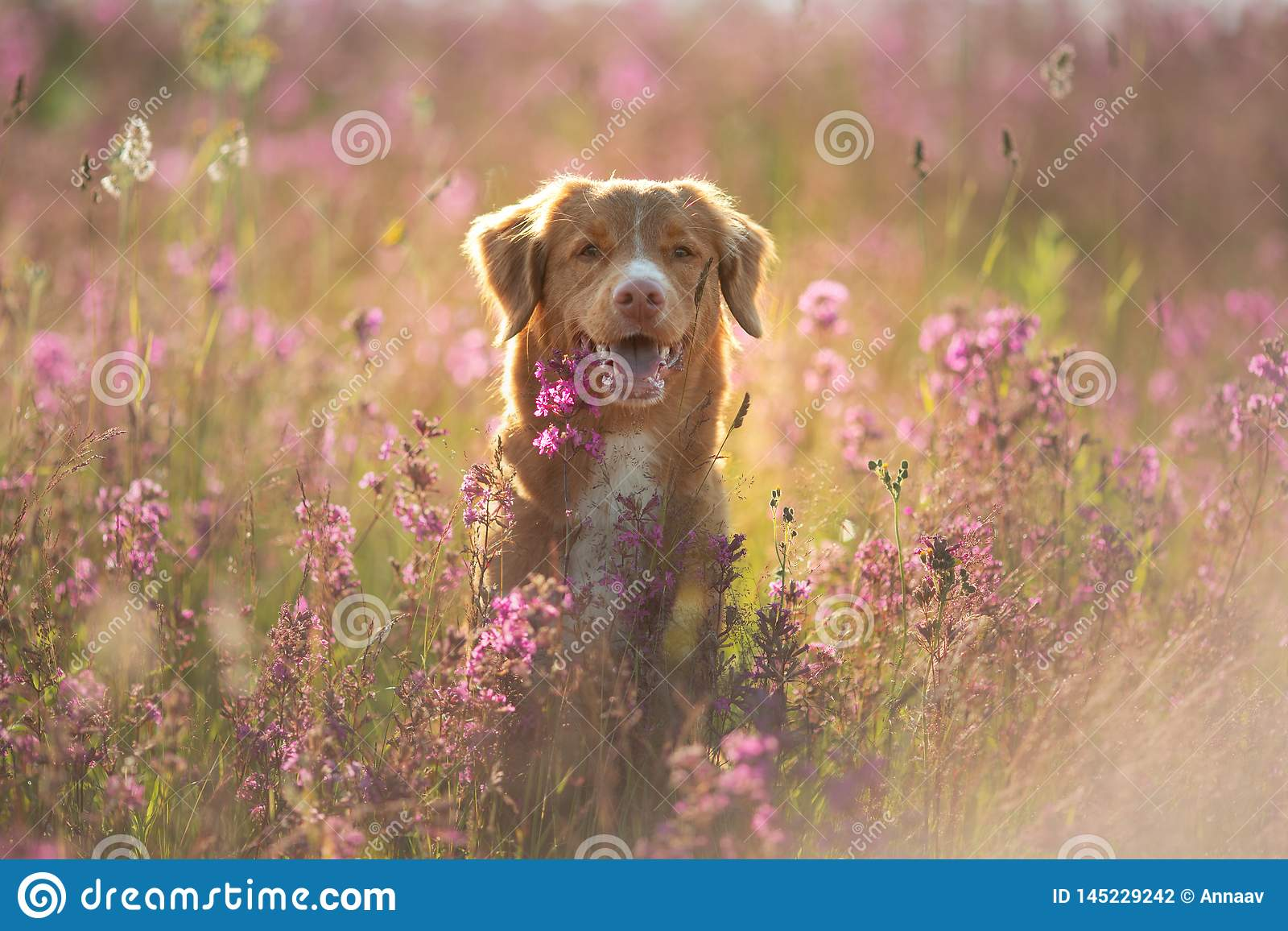 Собака Retriever утки Новой Шотландии звоня в поле цветков Счастливый люби