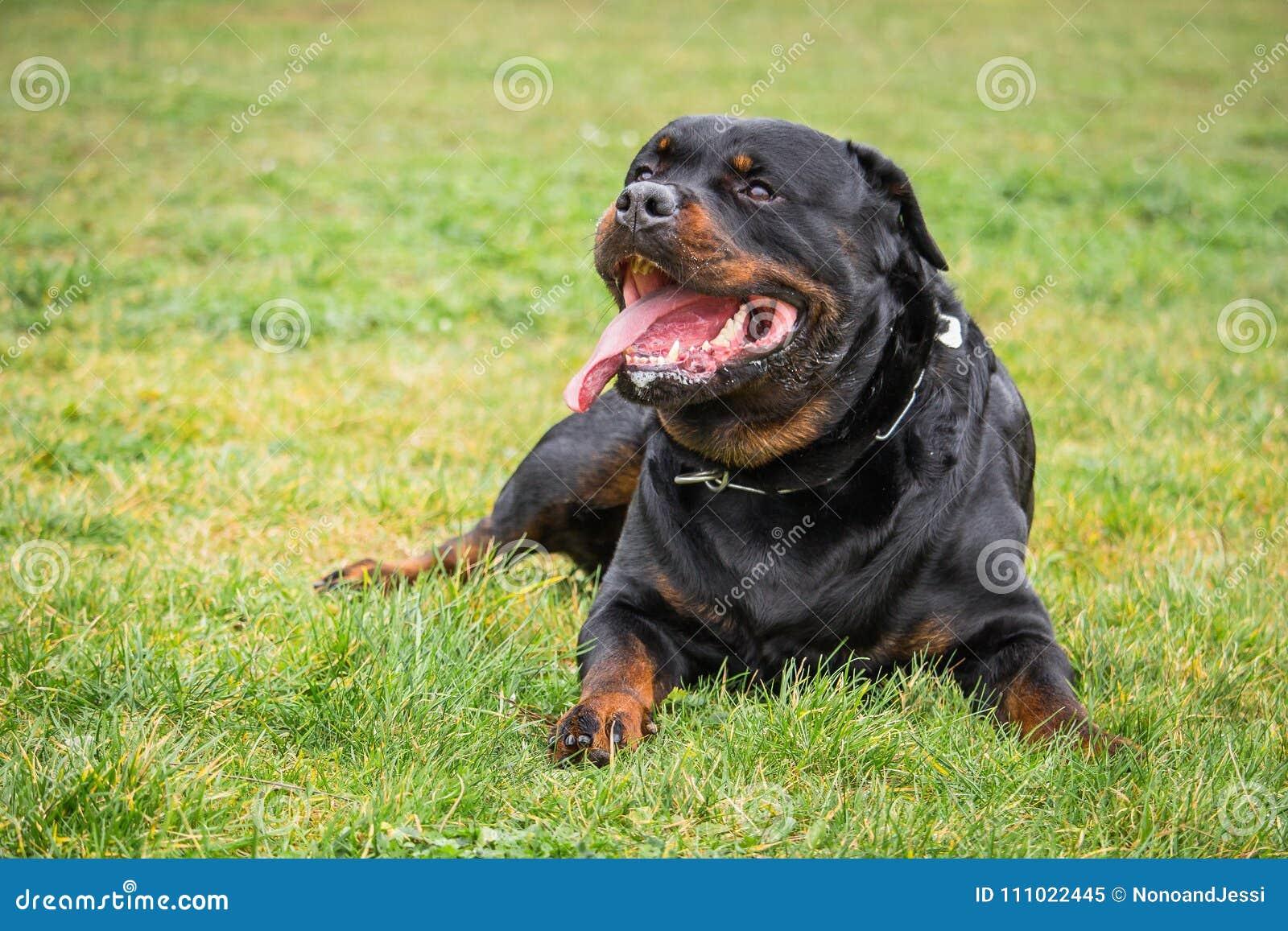 Собака Rottweiler которая наблюдает и ждет его мастерское ` s приказывает пока лежащ вниз