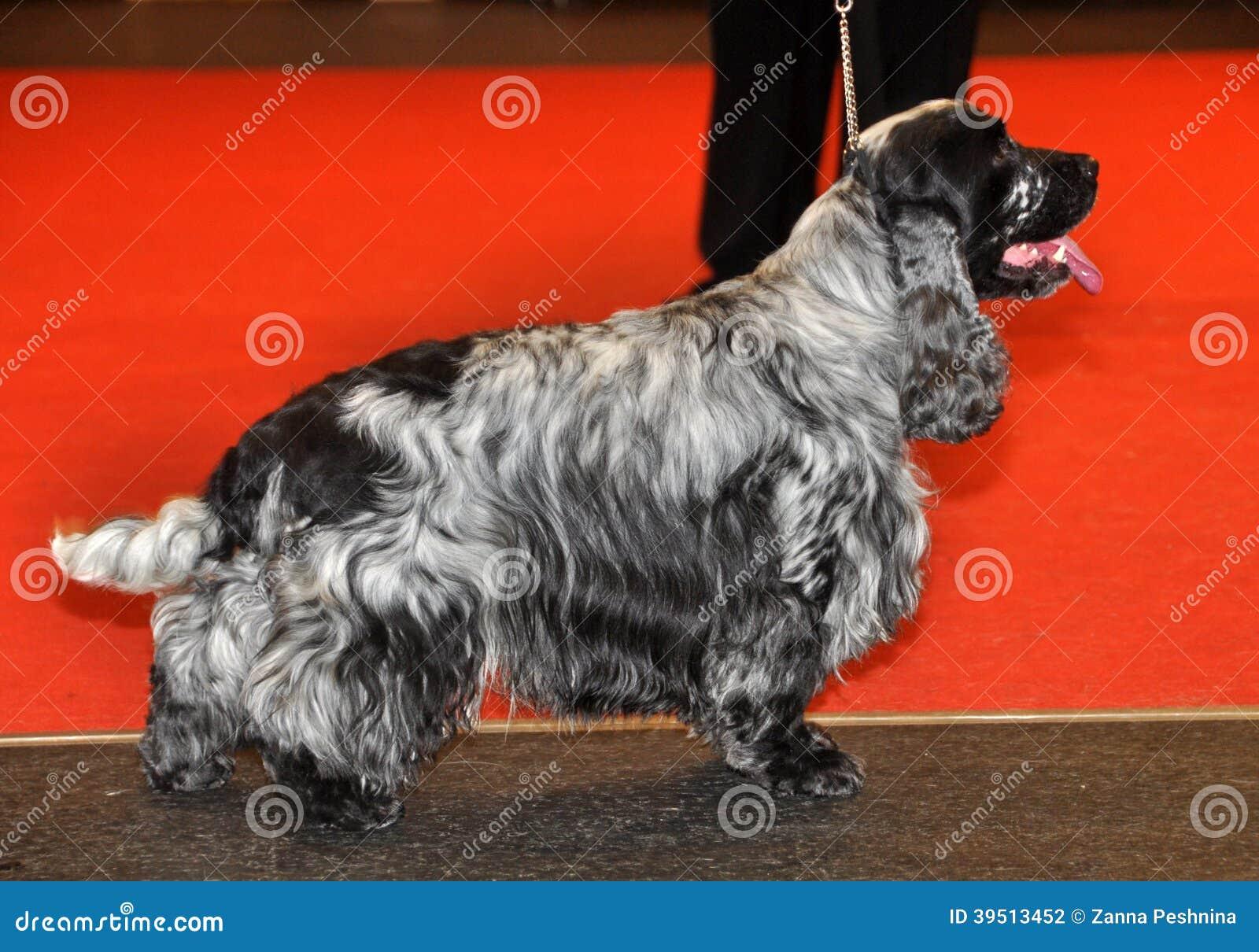 Собака Spaniel кокерспаниеля