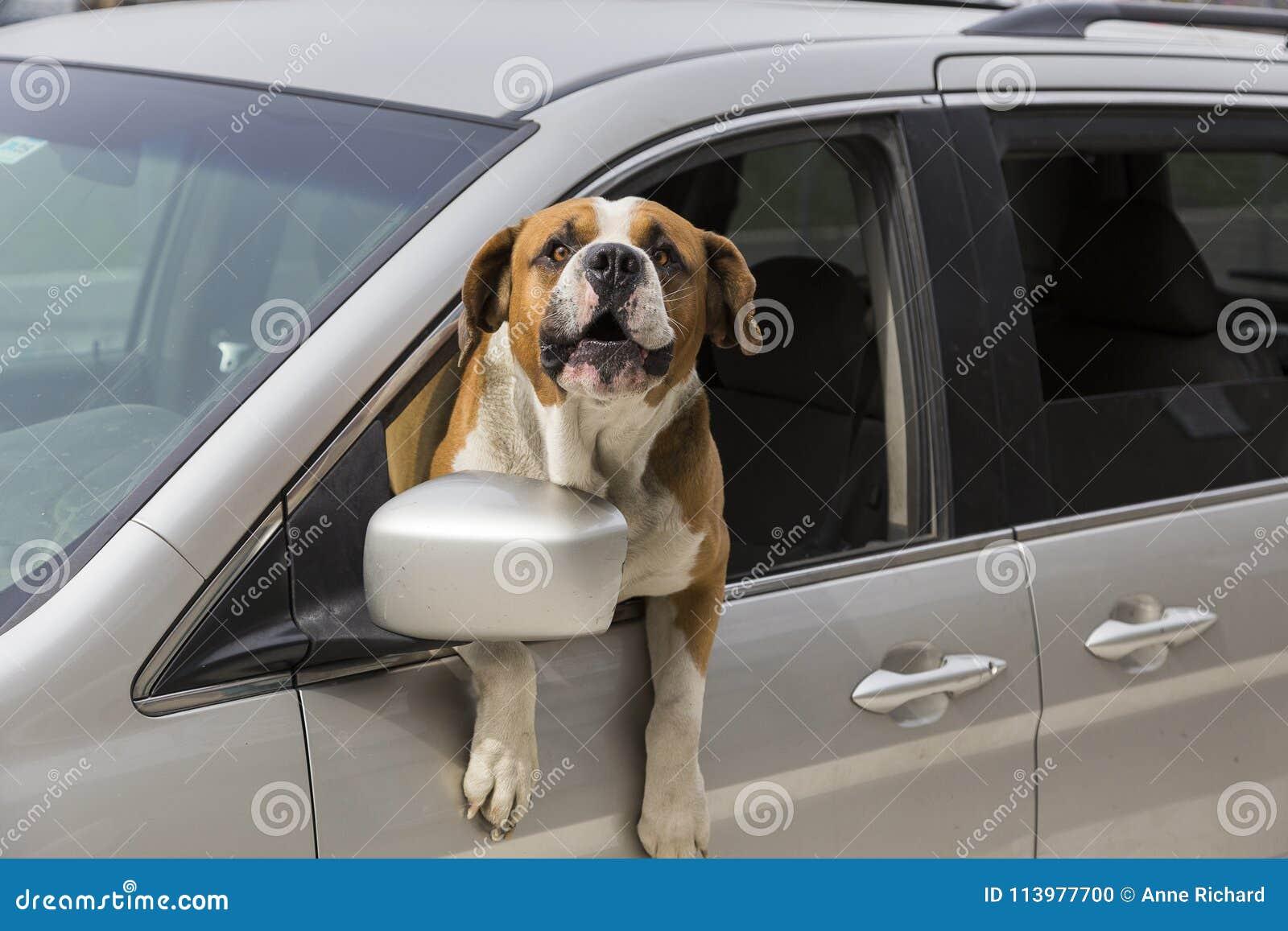 Собака St Bernard с торсом из лаять окна автомобиля