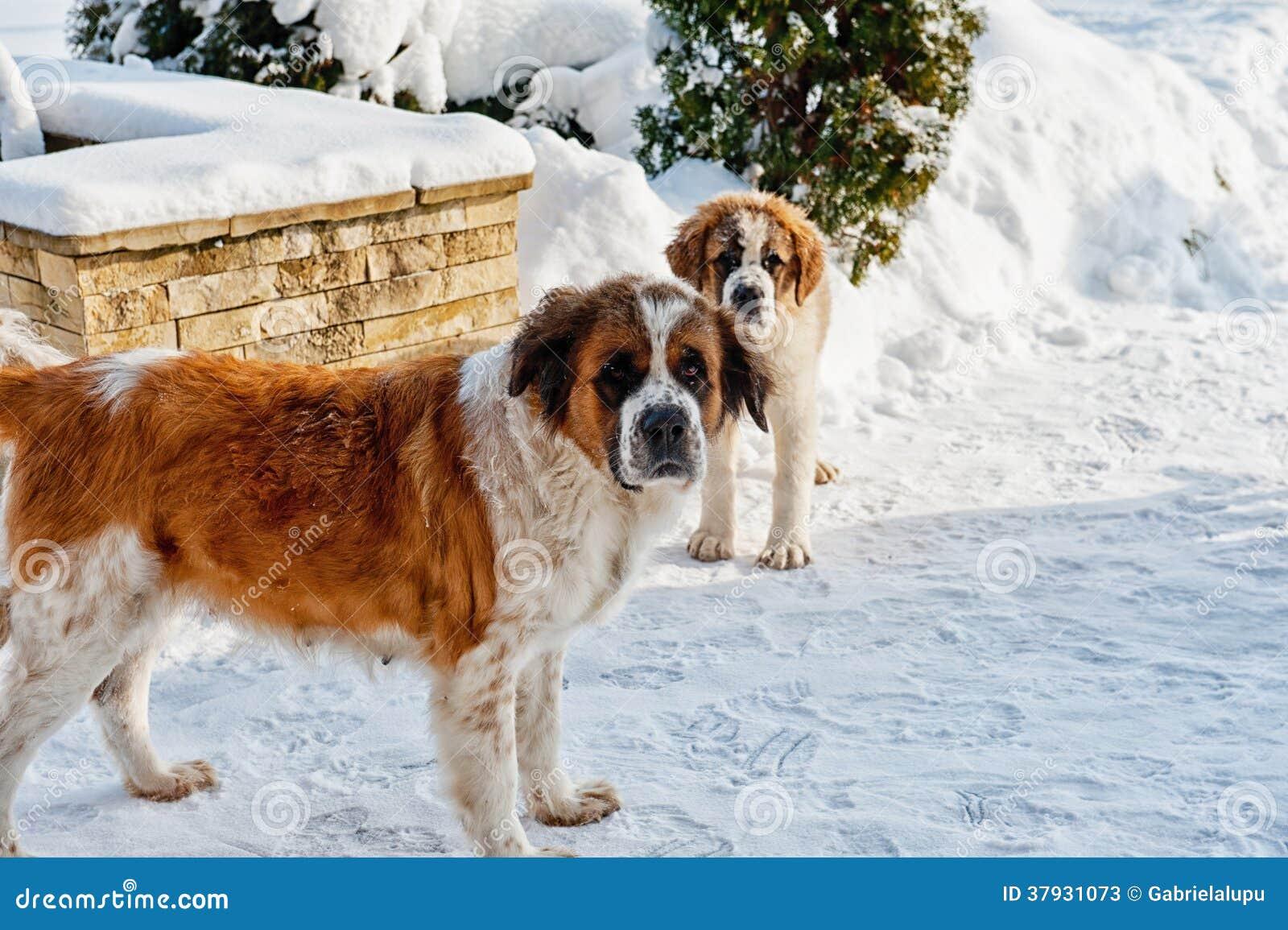 Собака St Bernard