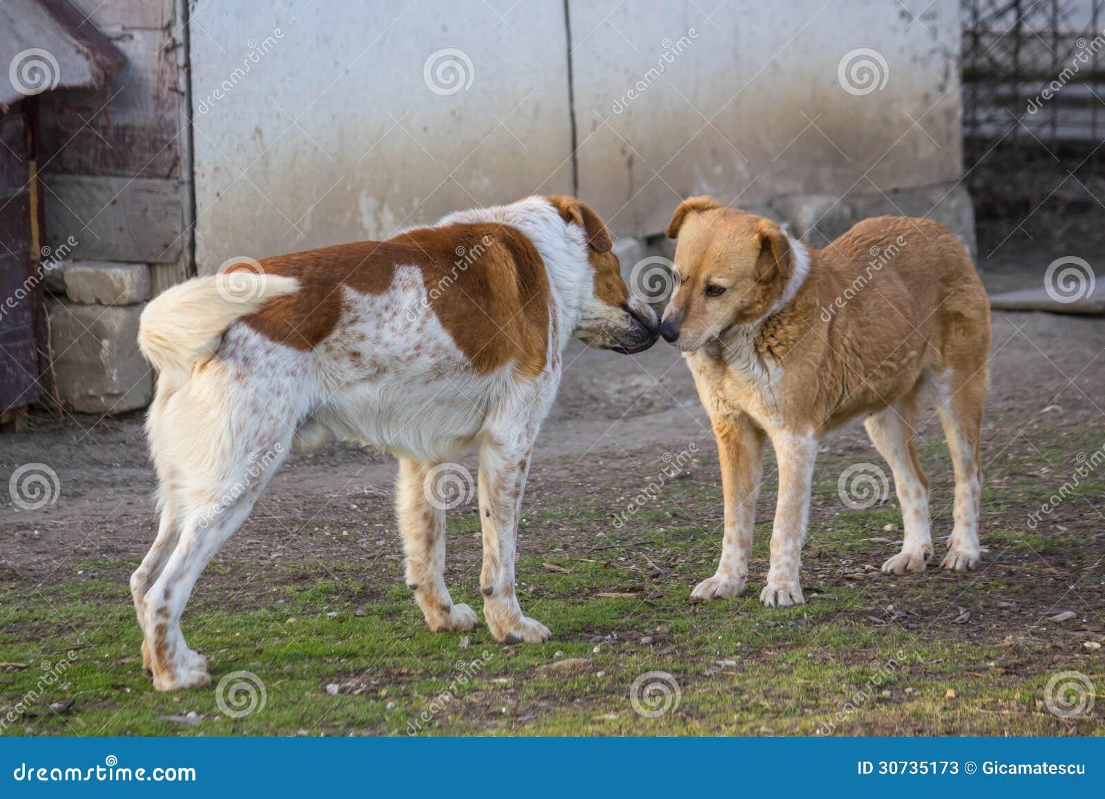 Собаки влюбленности