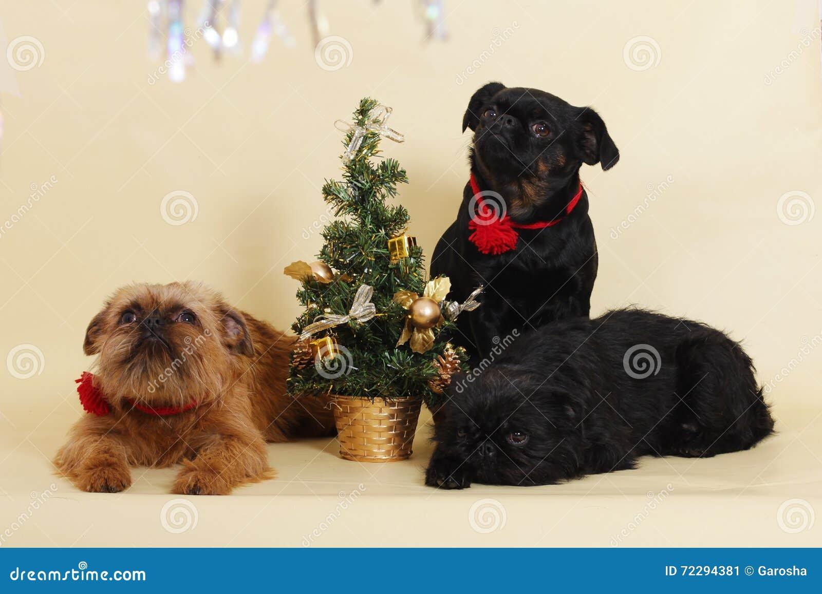Download Собаки Griffon Bruxellois рядом с рождественской елкой Стоковое Изображение - изображение насчитывающей товарищ, товарищество: 72294381