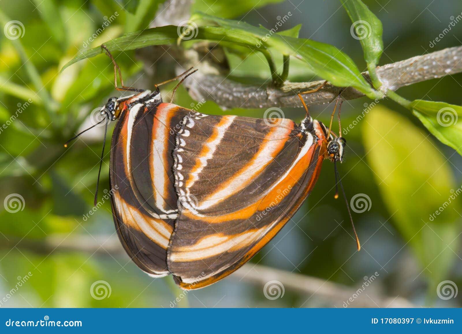 соединенное phaetusa dryadula heliconian померанцовое
