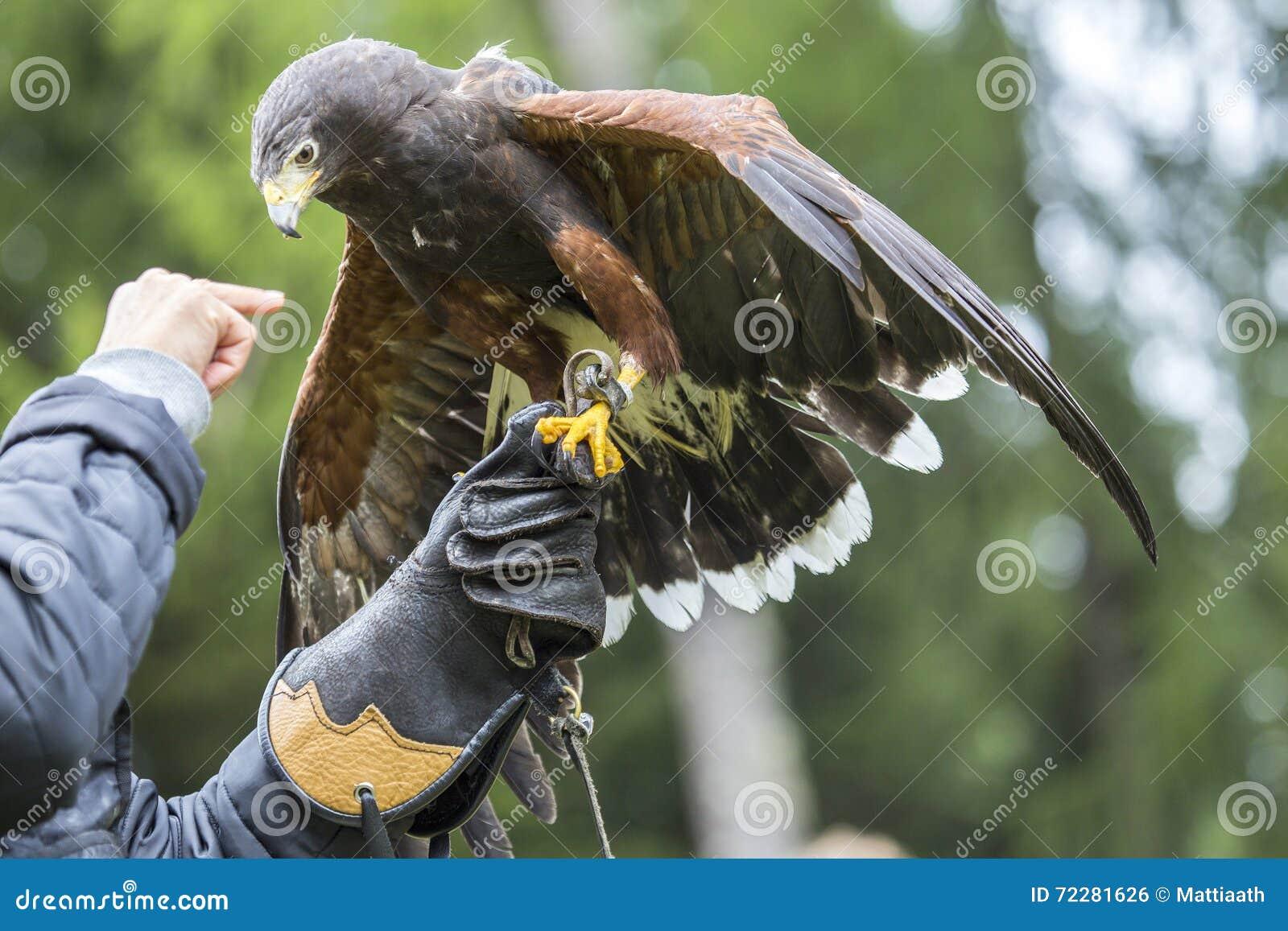 Download Соколиный охотник с хоуком Херриса на руке Стоковое Фото - изображение насчитывающей ангстрома, биографической: 72281626