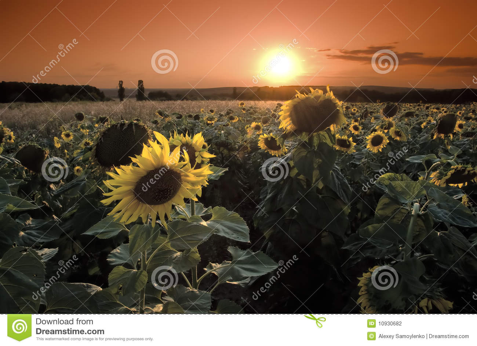 солнечность солнцецветов предпосылки волшебная