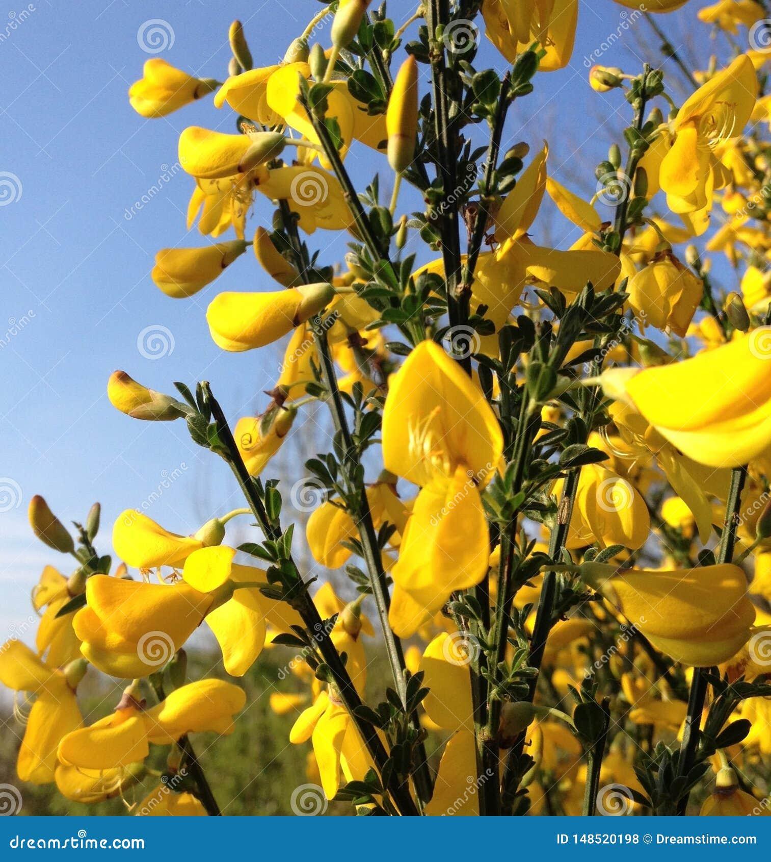 Солнечный свет на цветках желтой живой изгороди сладких надушенных