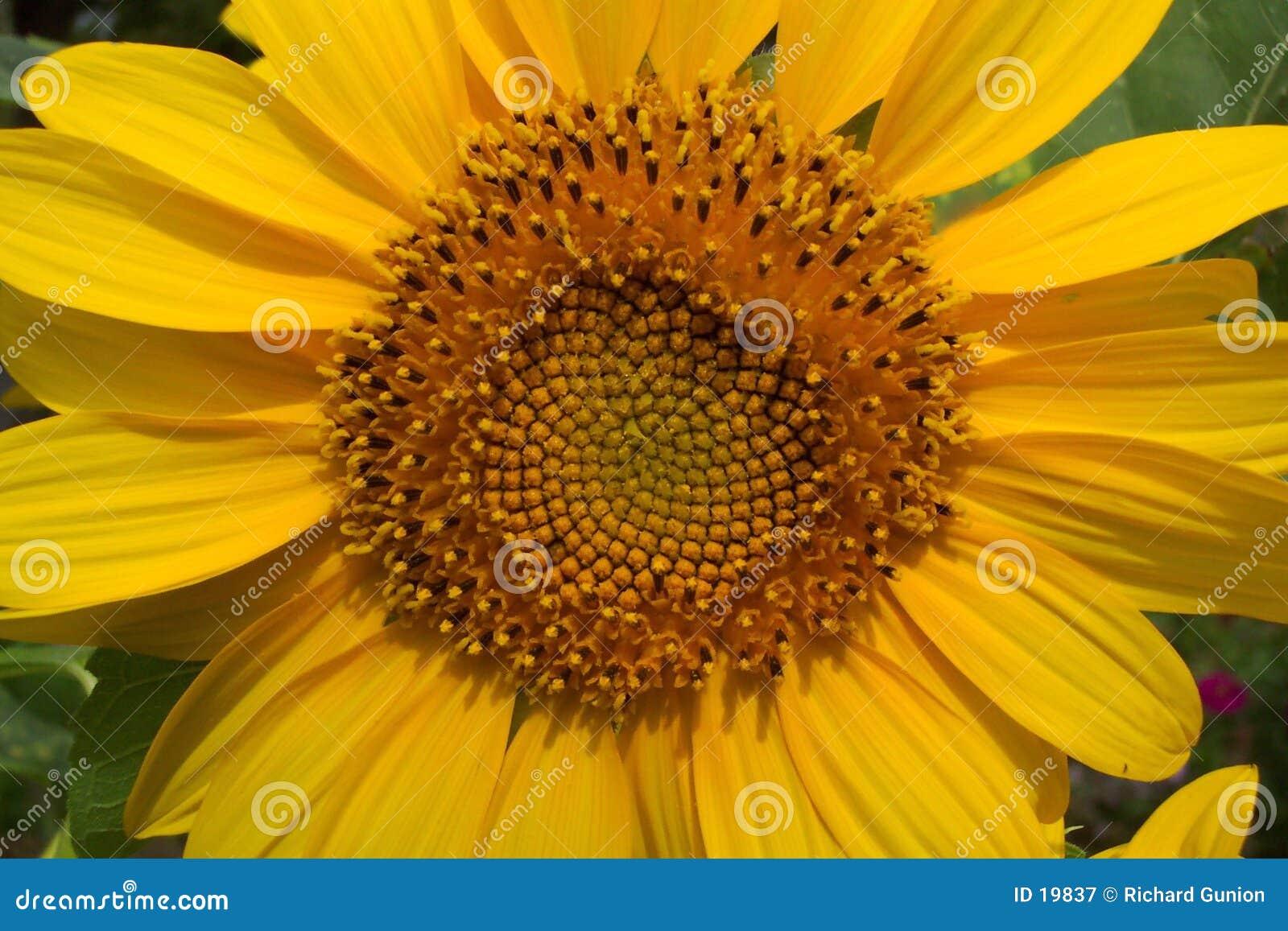 солнцецвет лета