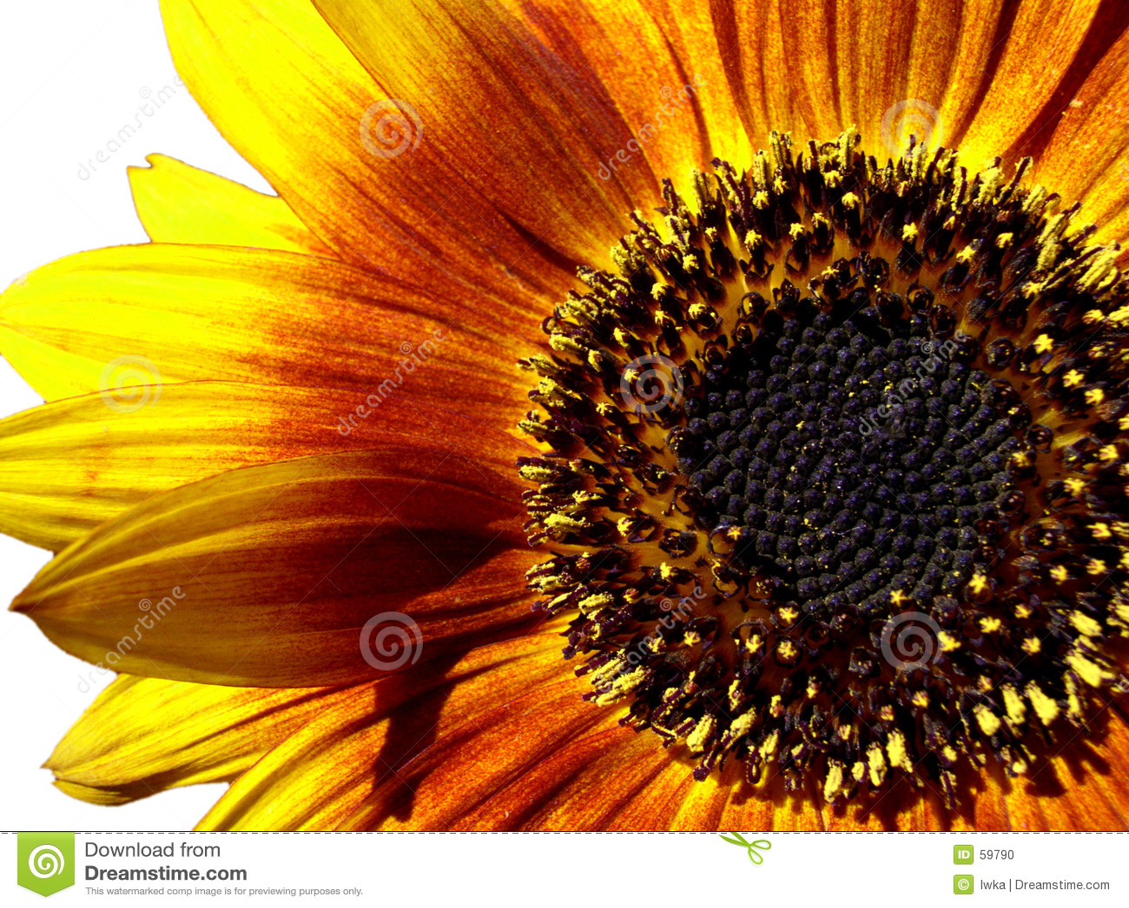 солнцецвет макроса