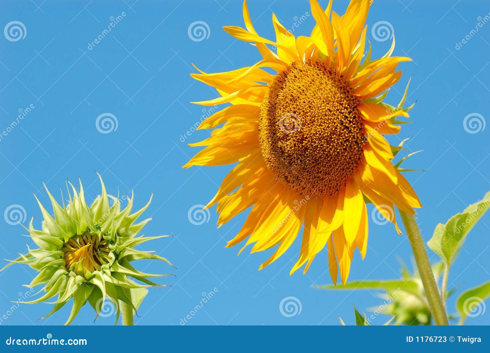 солнцецвет мати младенца
