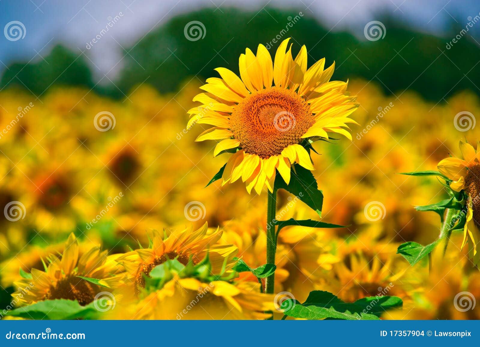 солнцецвет поля
