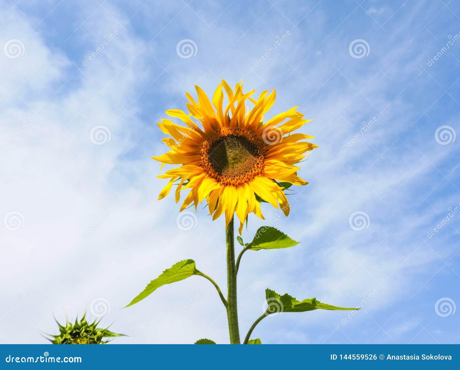 солнцецвет предпосылки естественный Зацветать солнцецвета близкий солнцецвет вверх зацветая солнцецветы поля Взгляд сверху