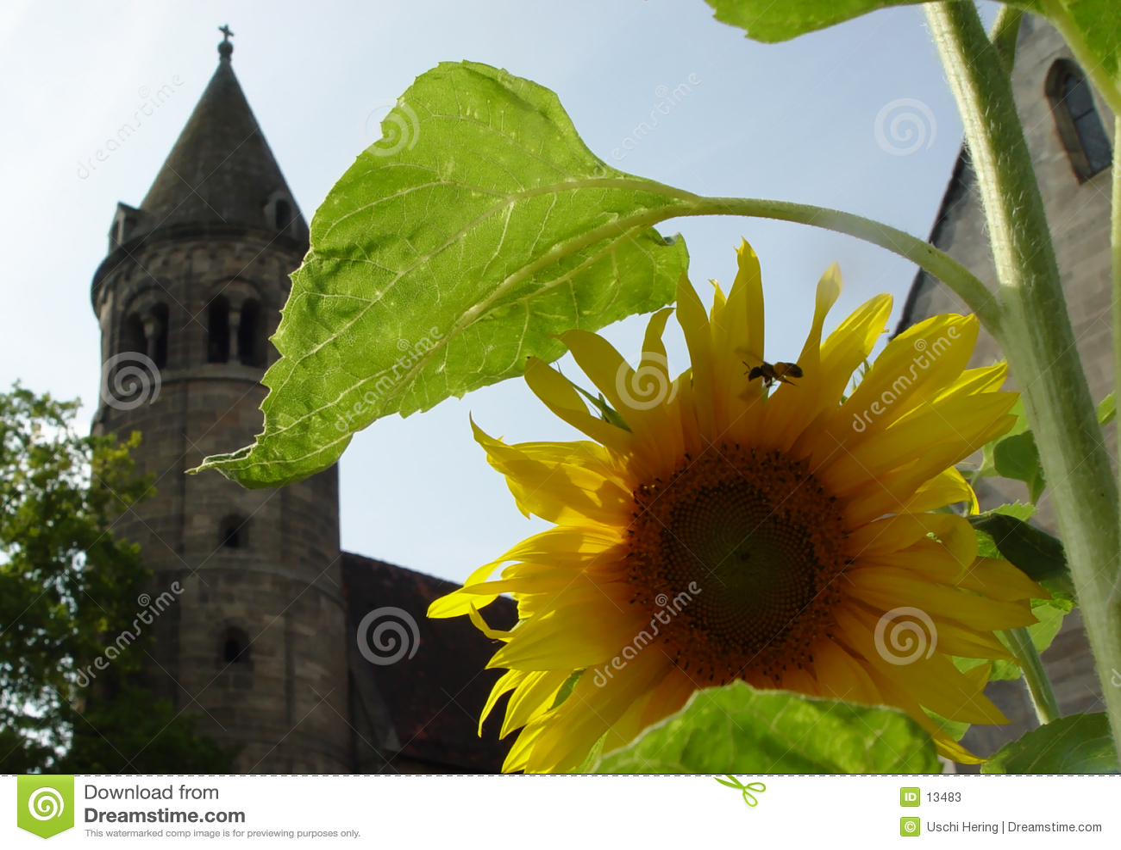 солнцецвет скита