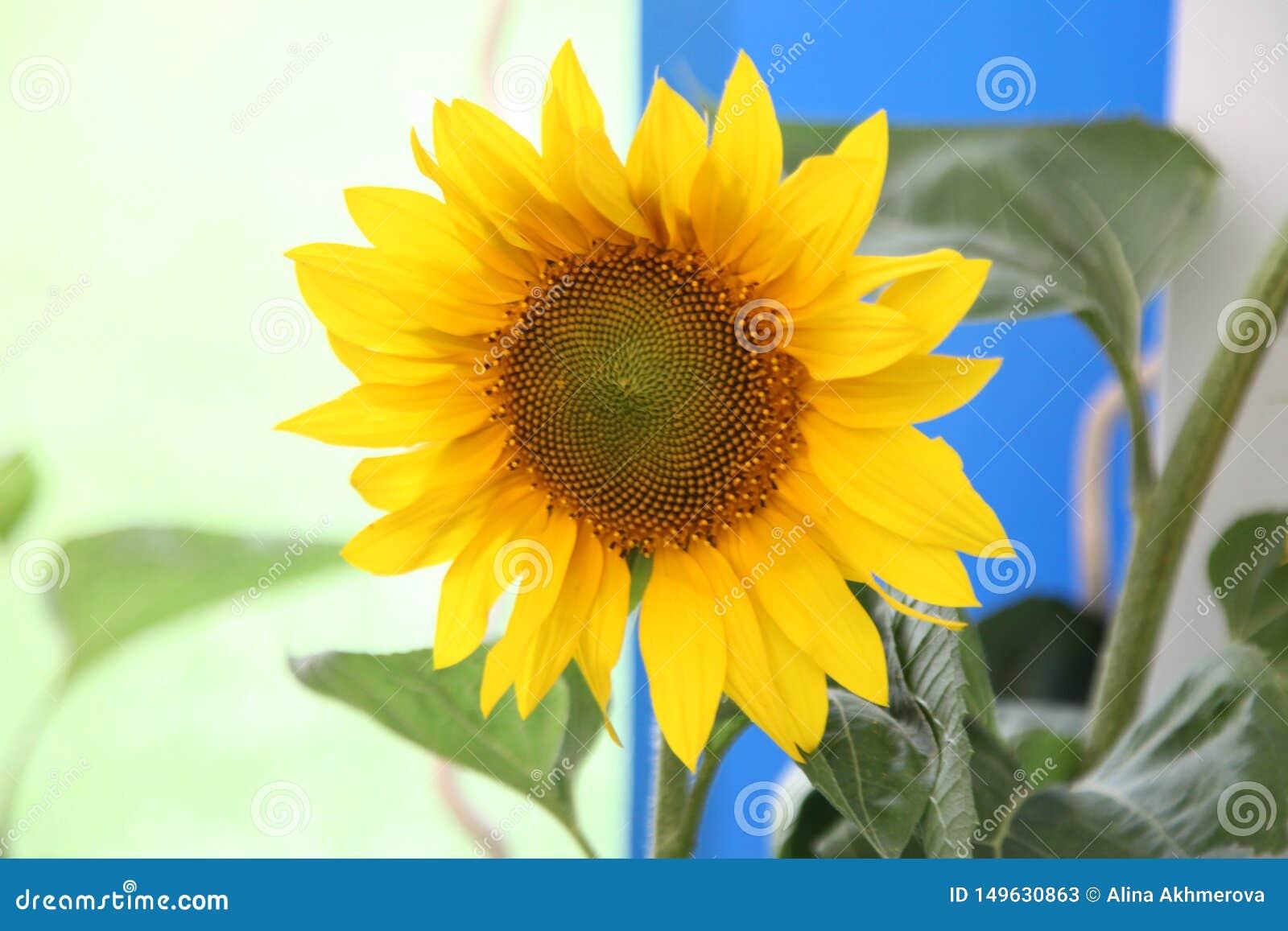 солнцецвет, солнце цветка, annuus подсолнечника, семена