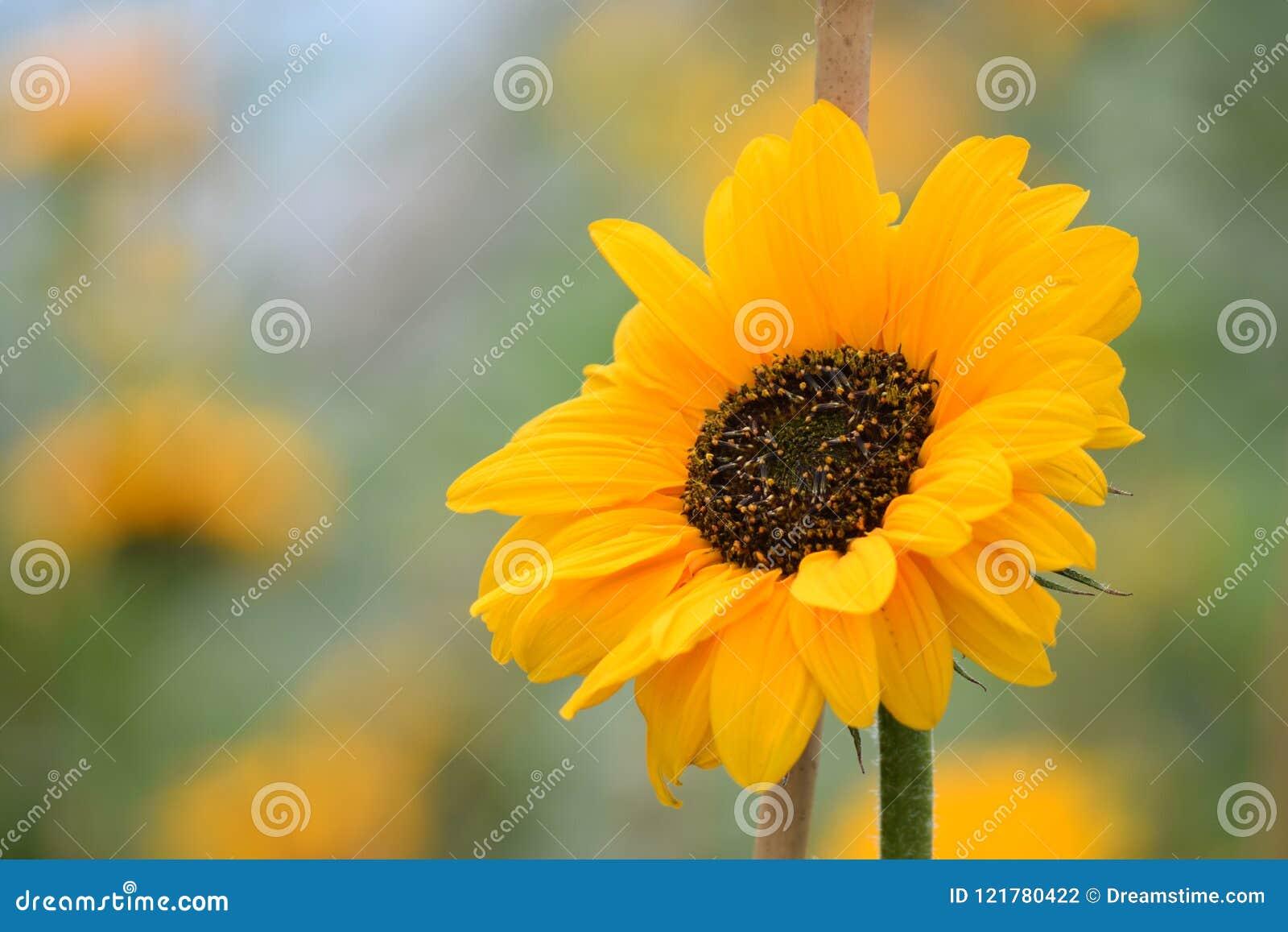 Солнцецвет фокуса