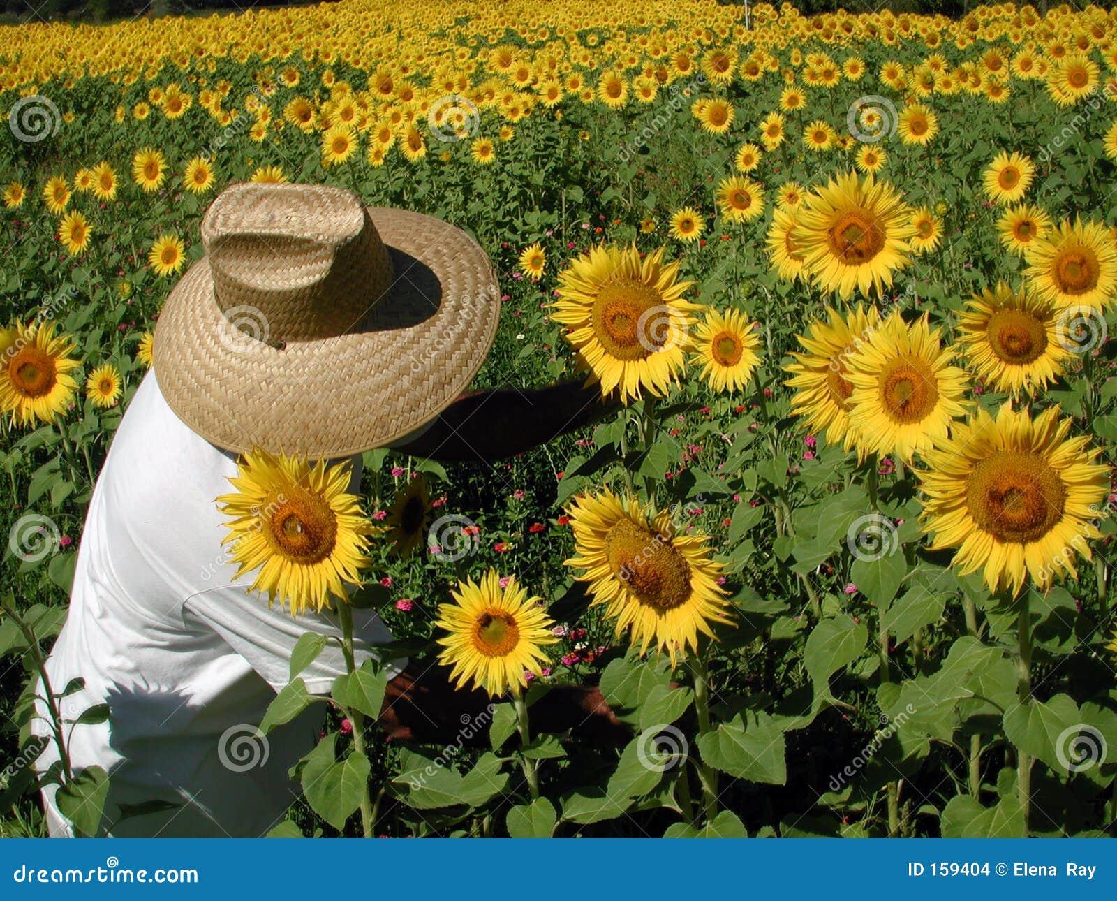 солнцецвет хуторянина