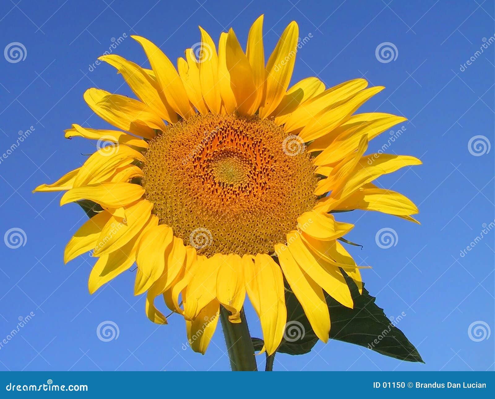 солнцецвет
