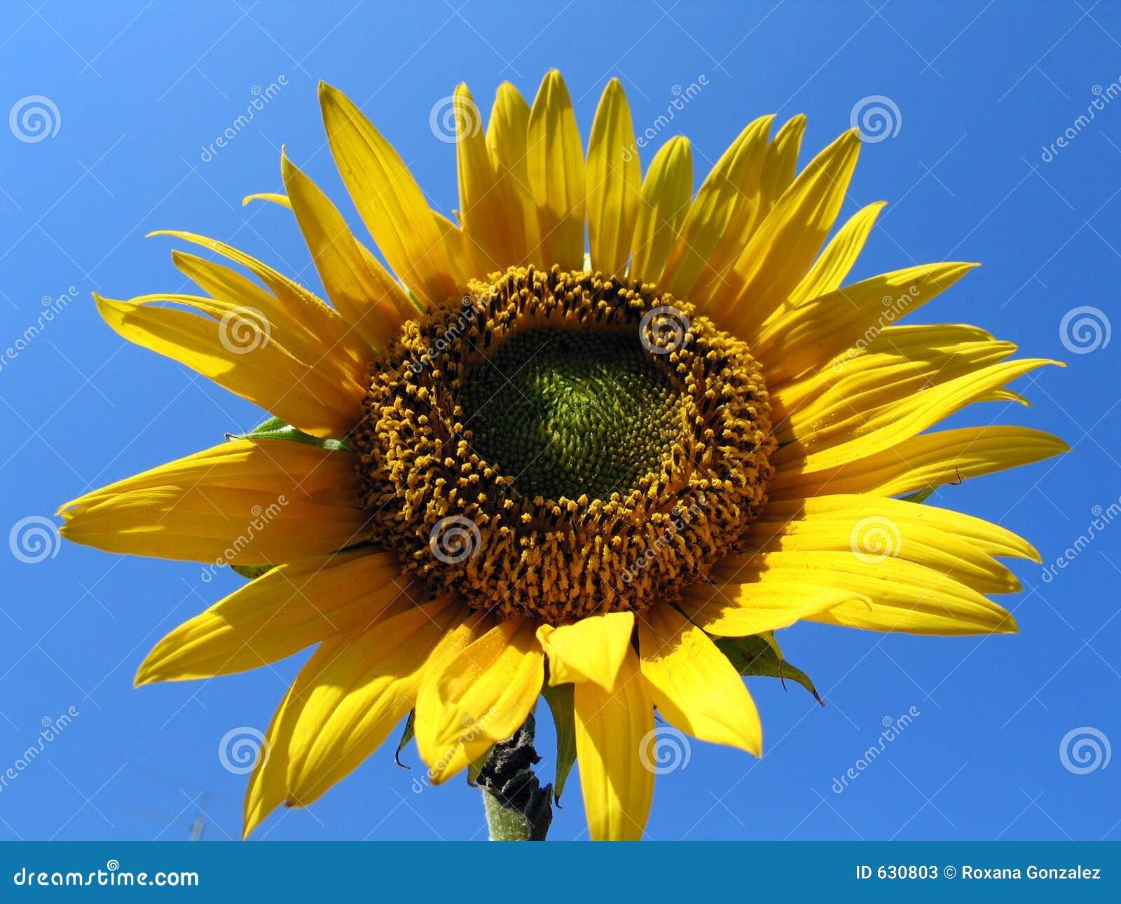 Download солнцецвет стоковое изображение. изображение насчитывающей yellow - 630803