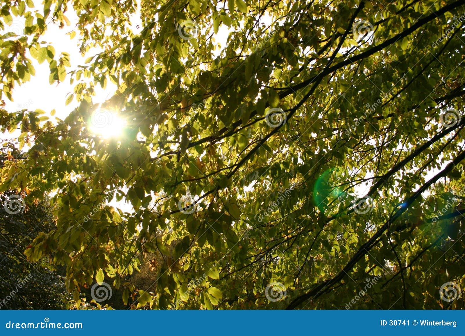 солнце листьев