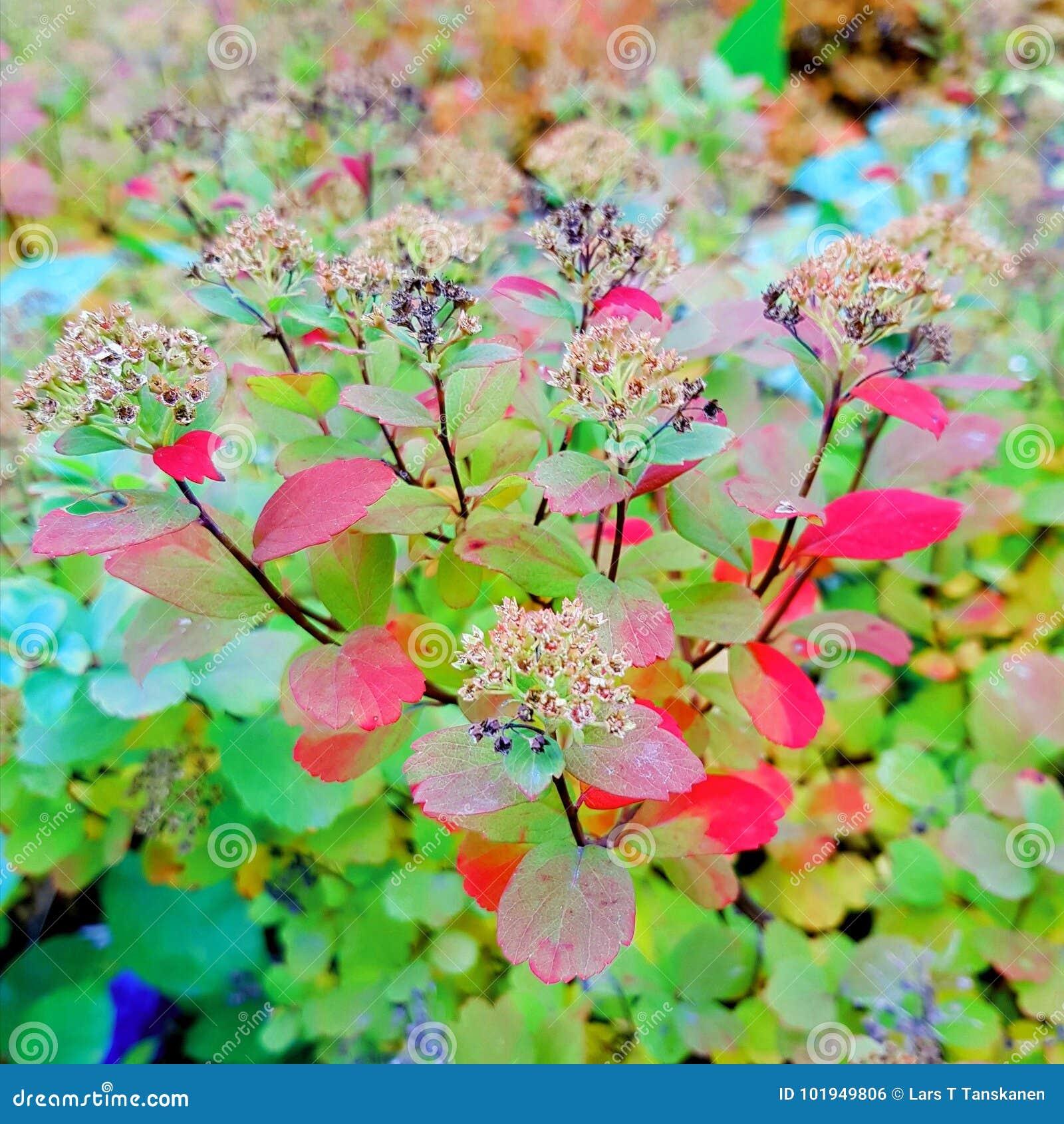 Сом Blid ягоды осени