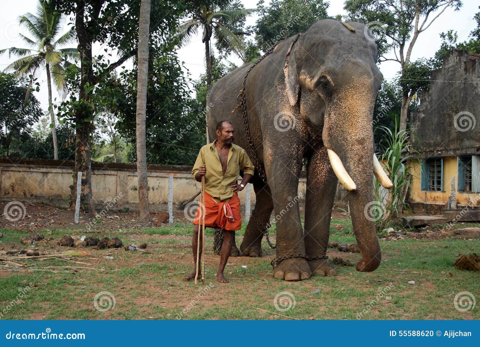 Сопровождают слонов виска их mahouts