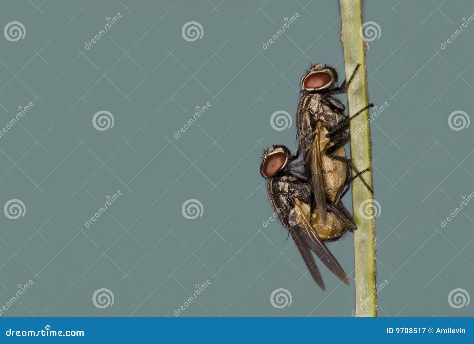 сопрягать мух