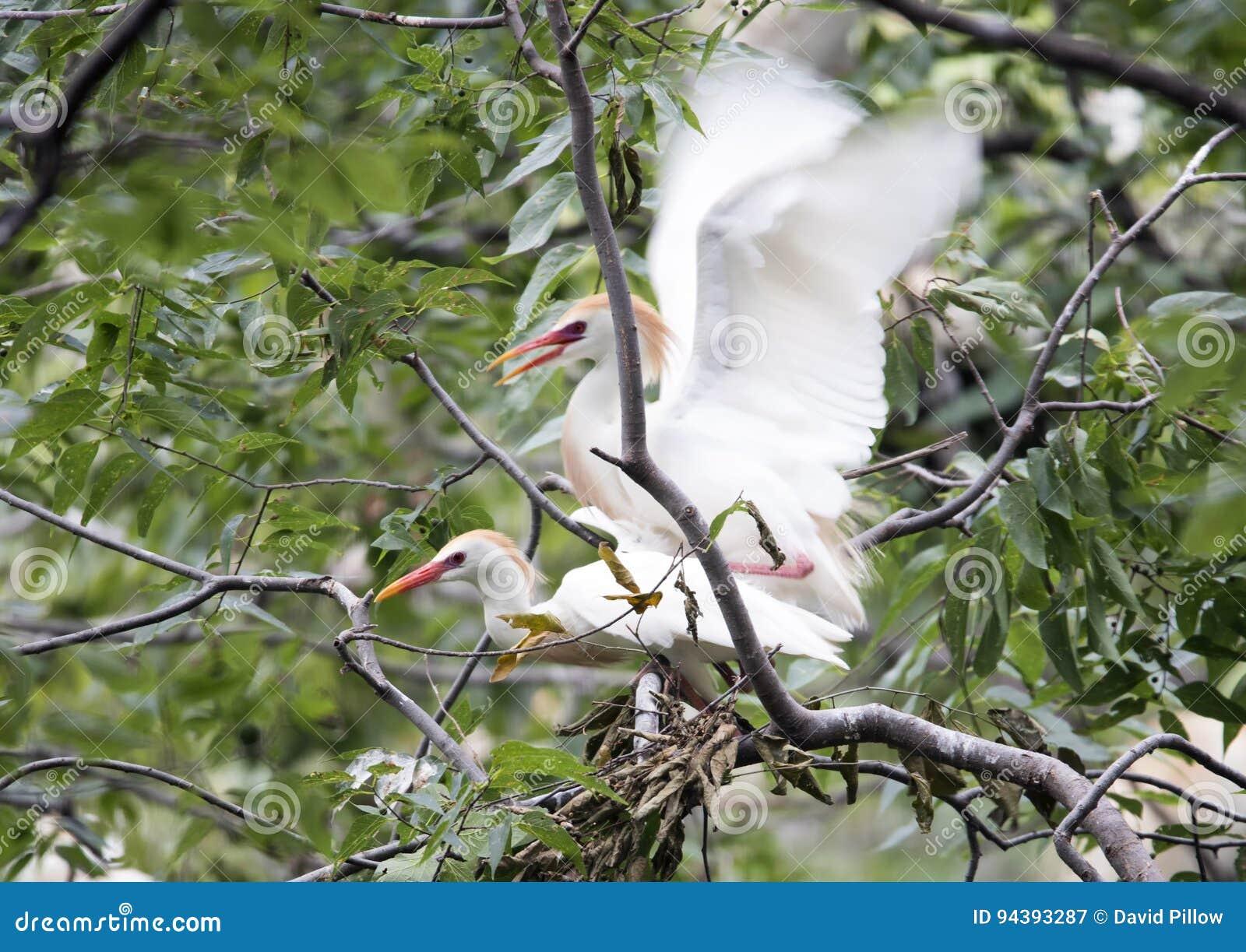 Сопрягать egret скотин