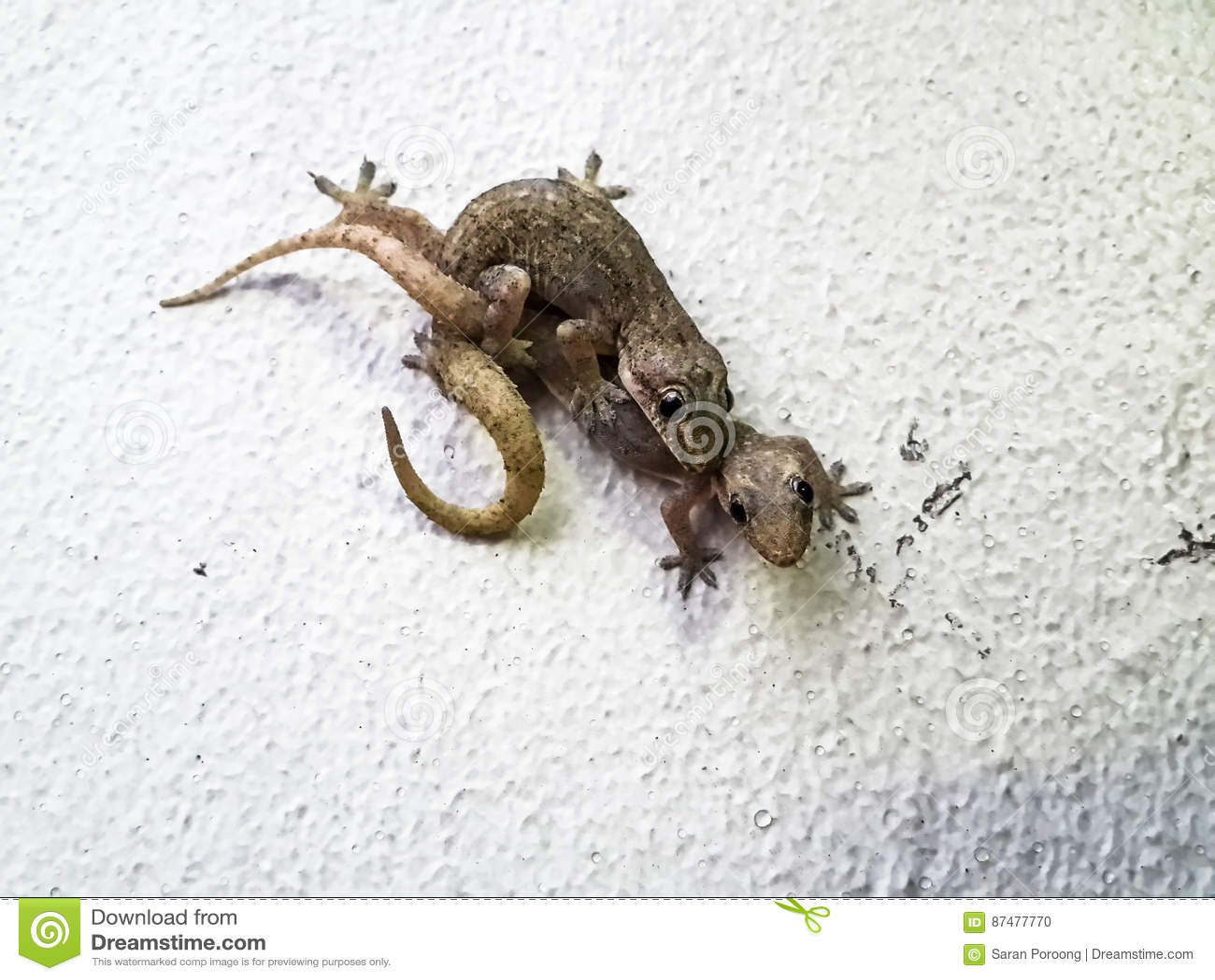 Сопрягая ящерицы - тропические Плоск-замкнутые гекконовые дома