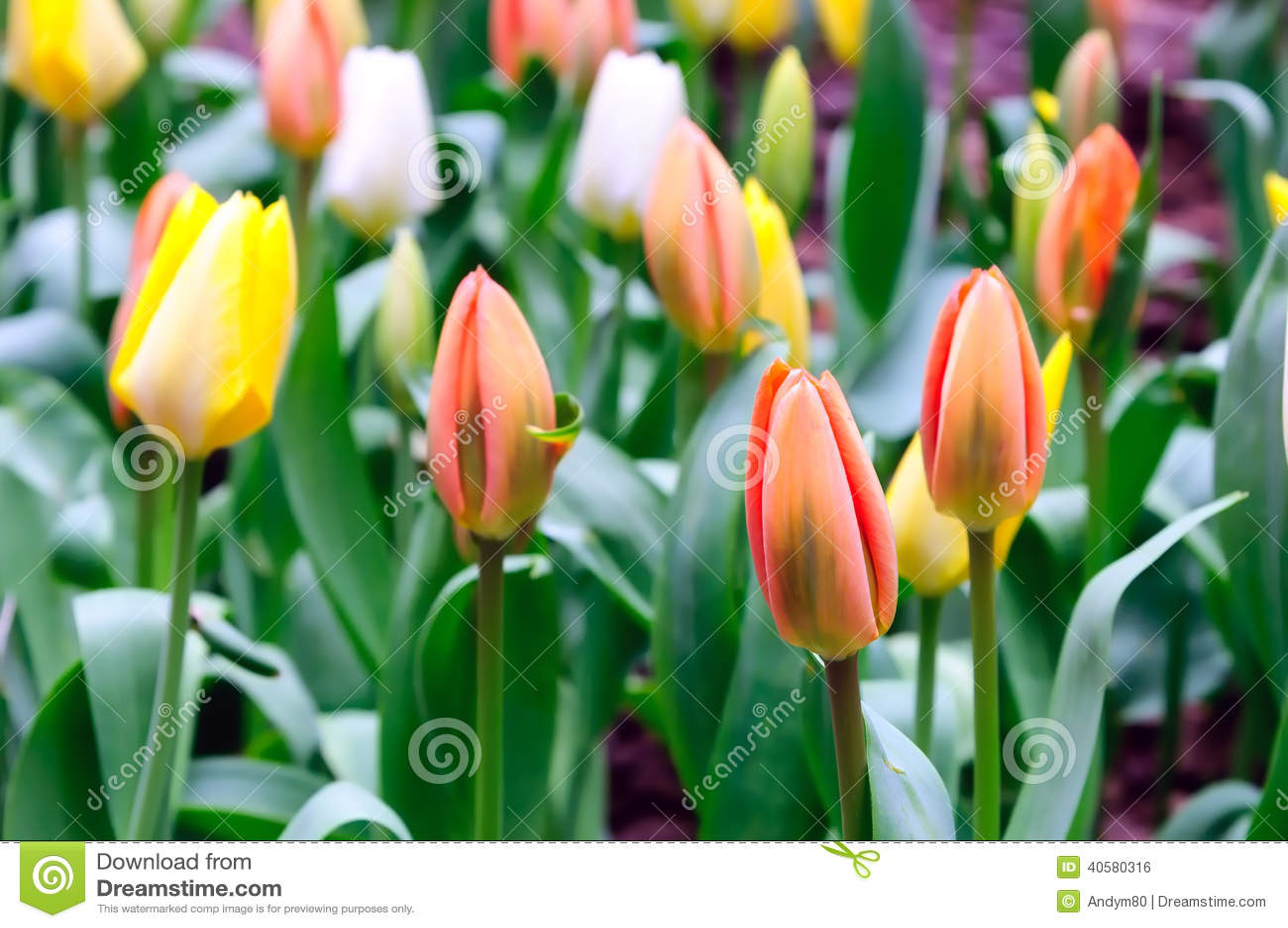 Сортированные тюльпаны