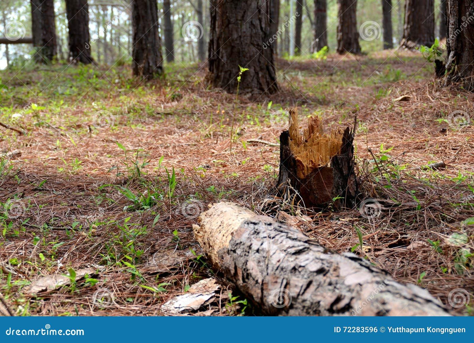 Download Сосна Forrest стоковое фото. изображение насчитывающей здоровье - 72283596