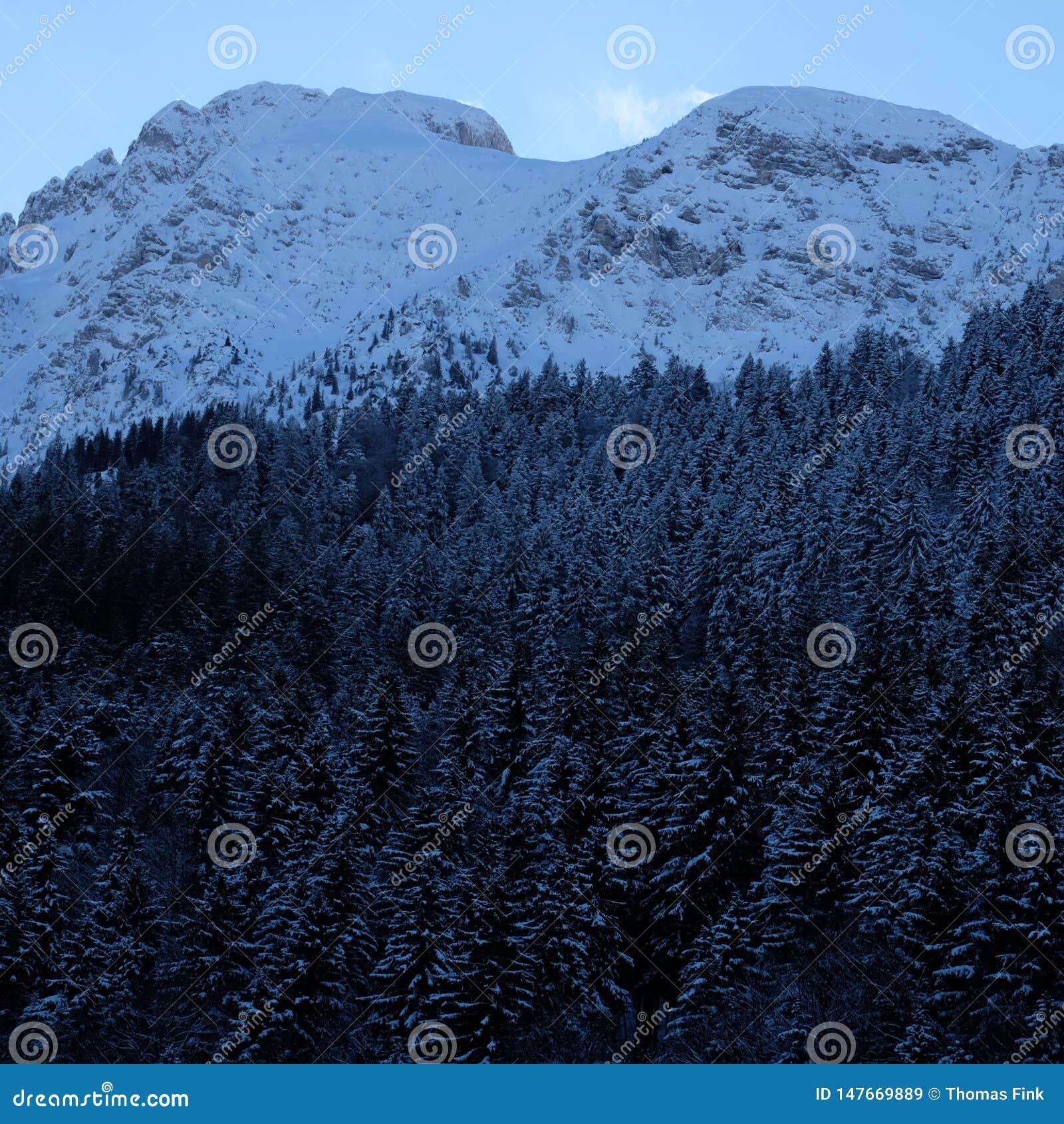 Сосновый лес Snowy высокогорный