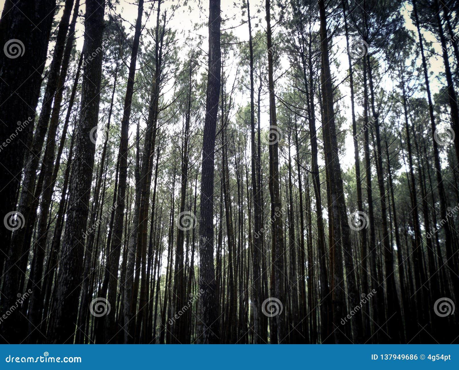 Сосновый лес, Yogyakarta, Индонезия