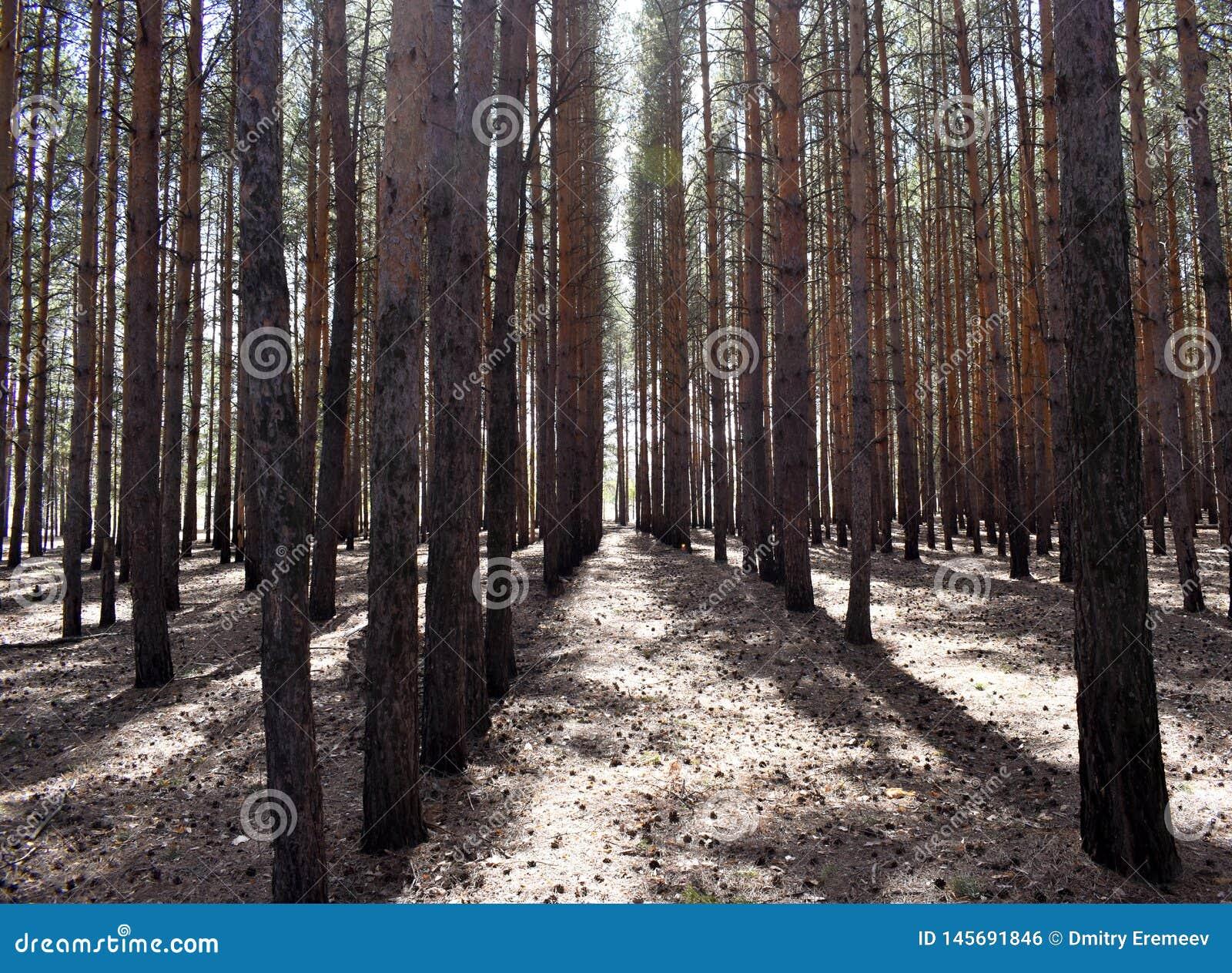 Сосны растя в лесе в ряд